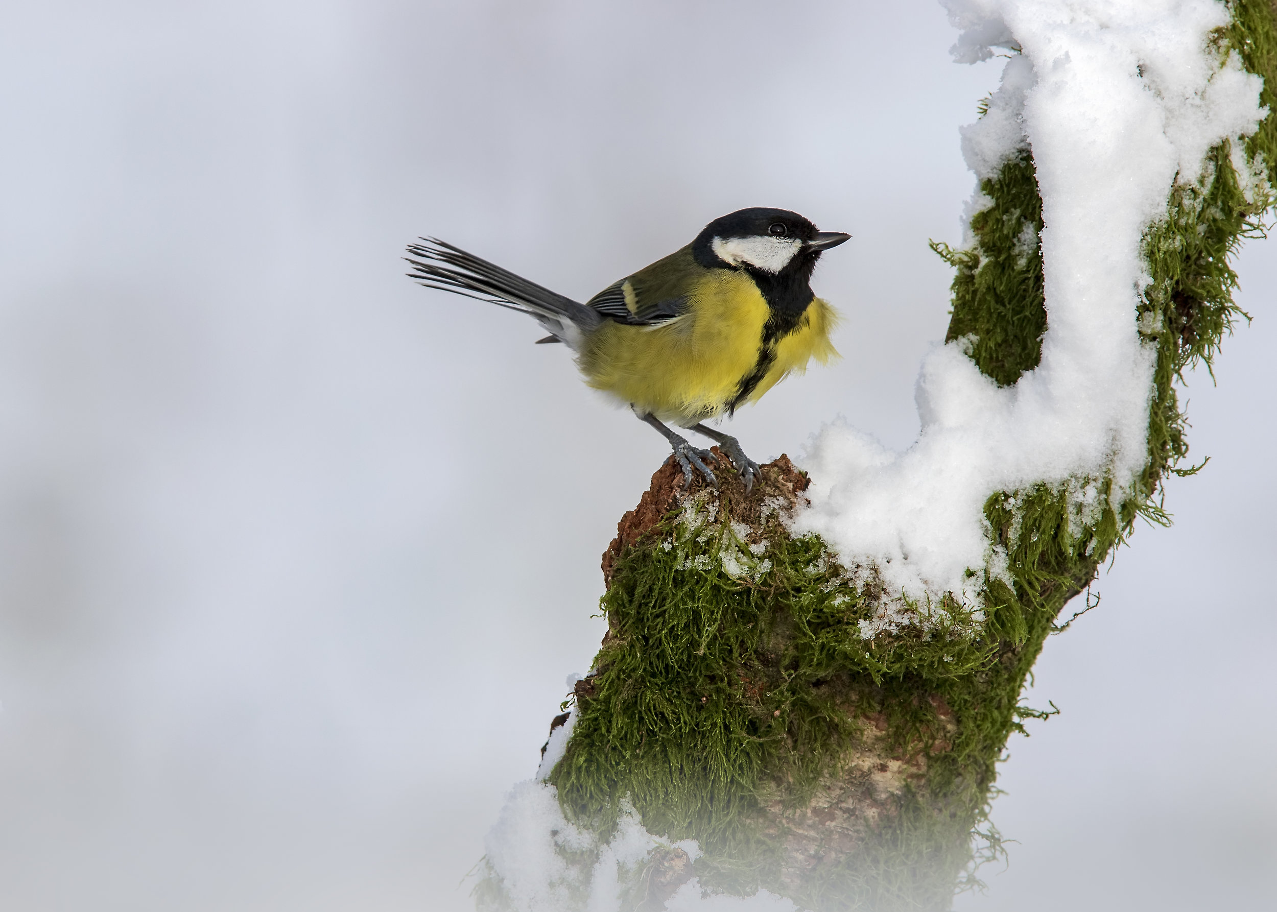 Great Tit Snow SL 1st February.jpg