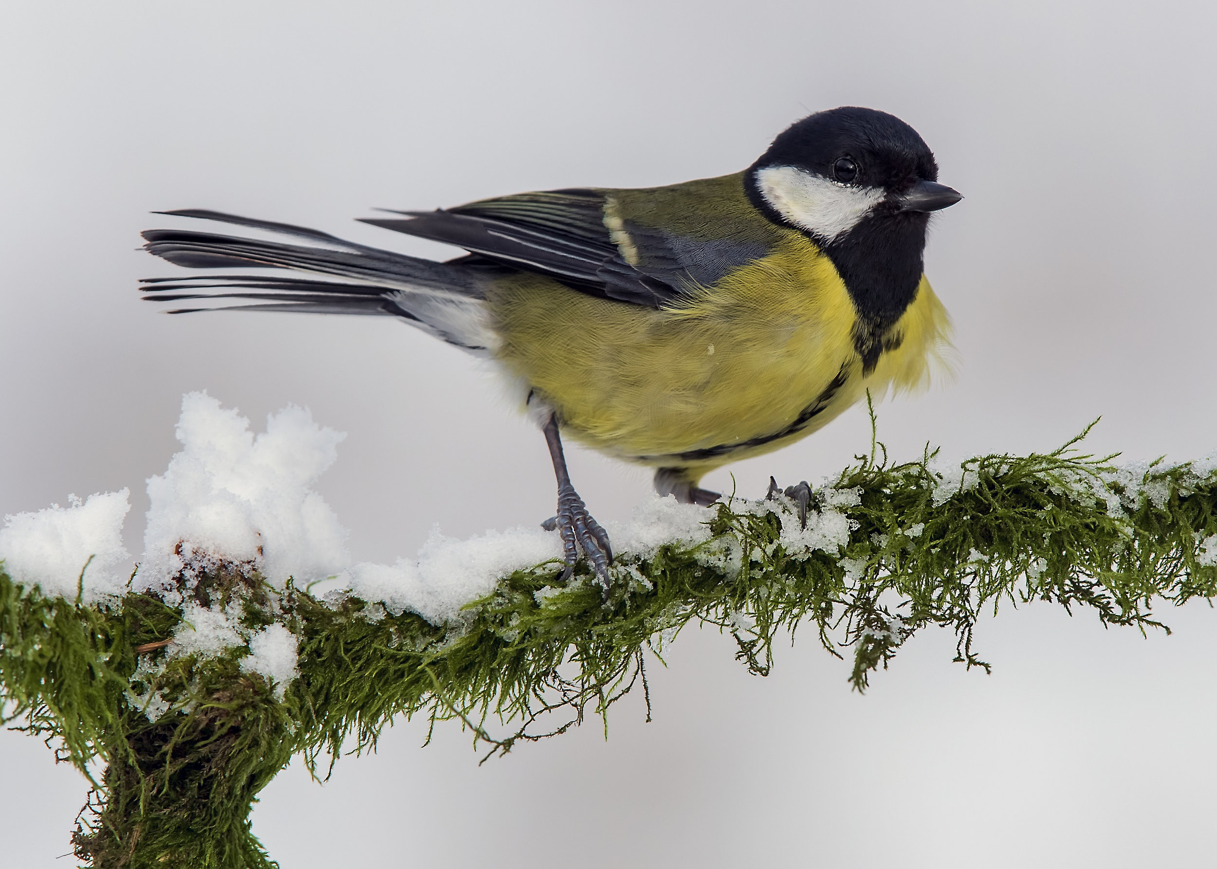 Great Tit Snow 1st February.jpg
