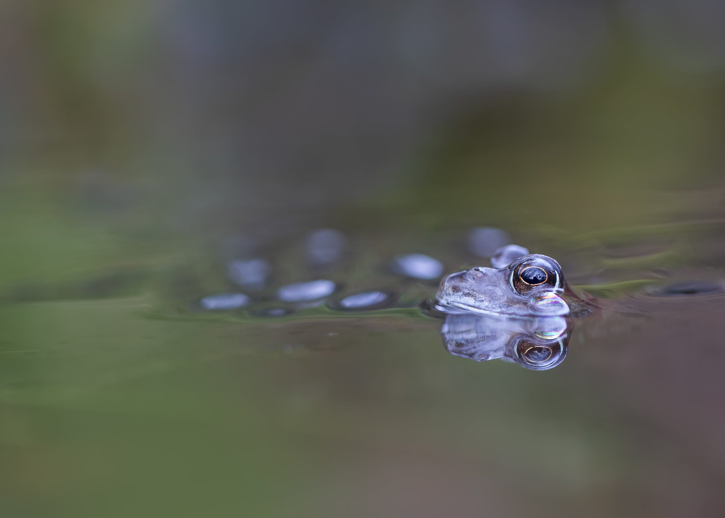 Common Frog 19th February.jpg