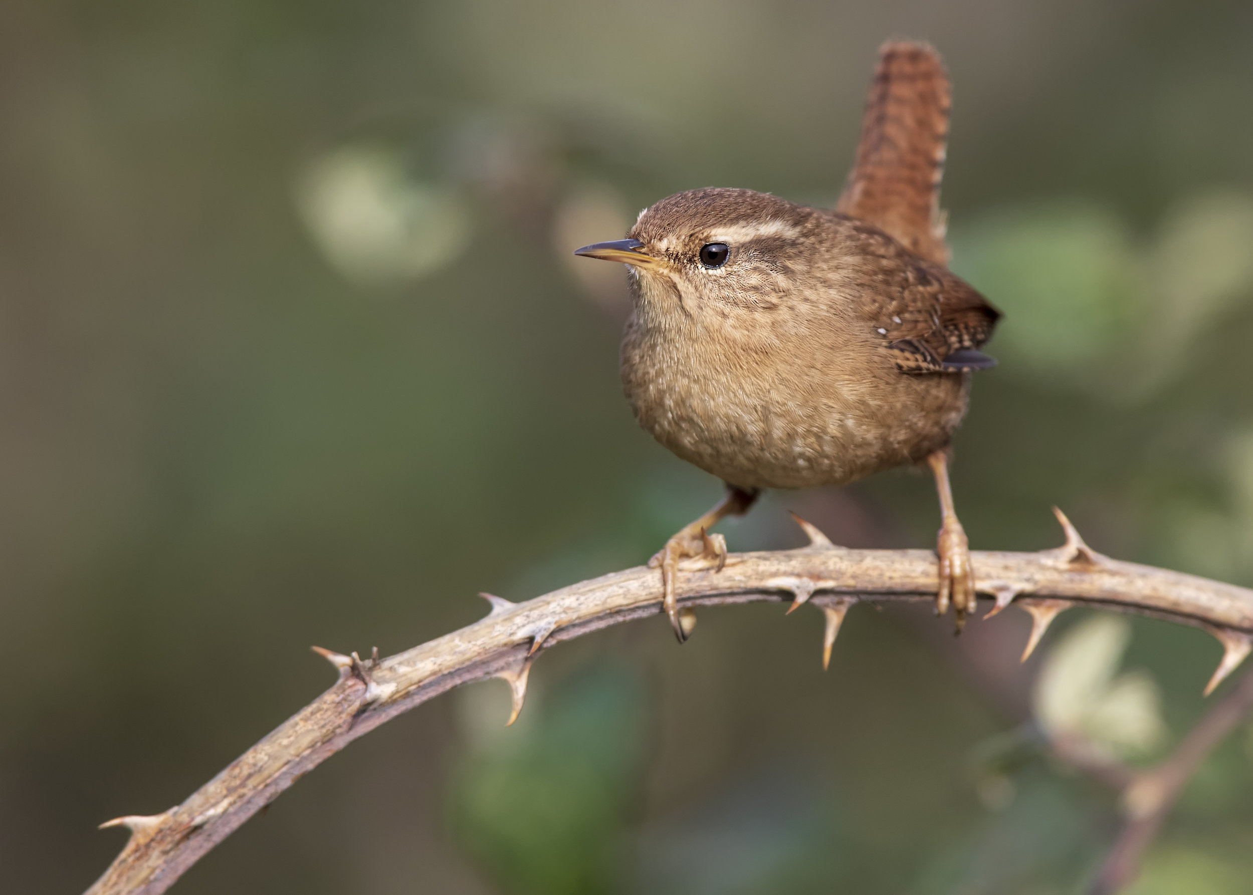 Wren Bramble 18th February.jpg