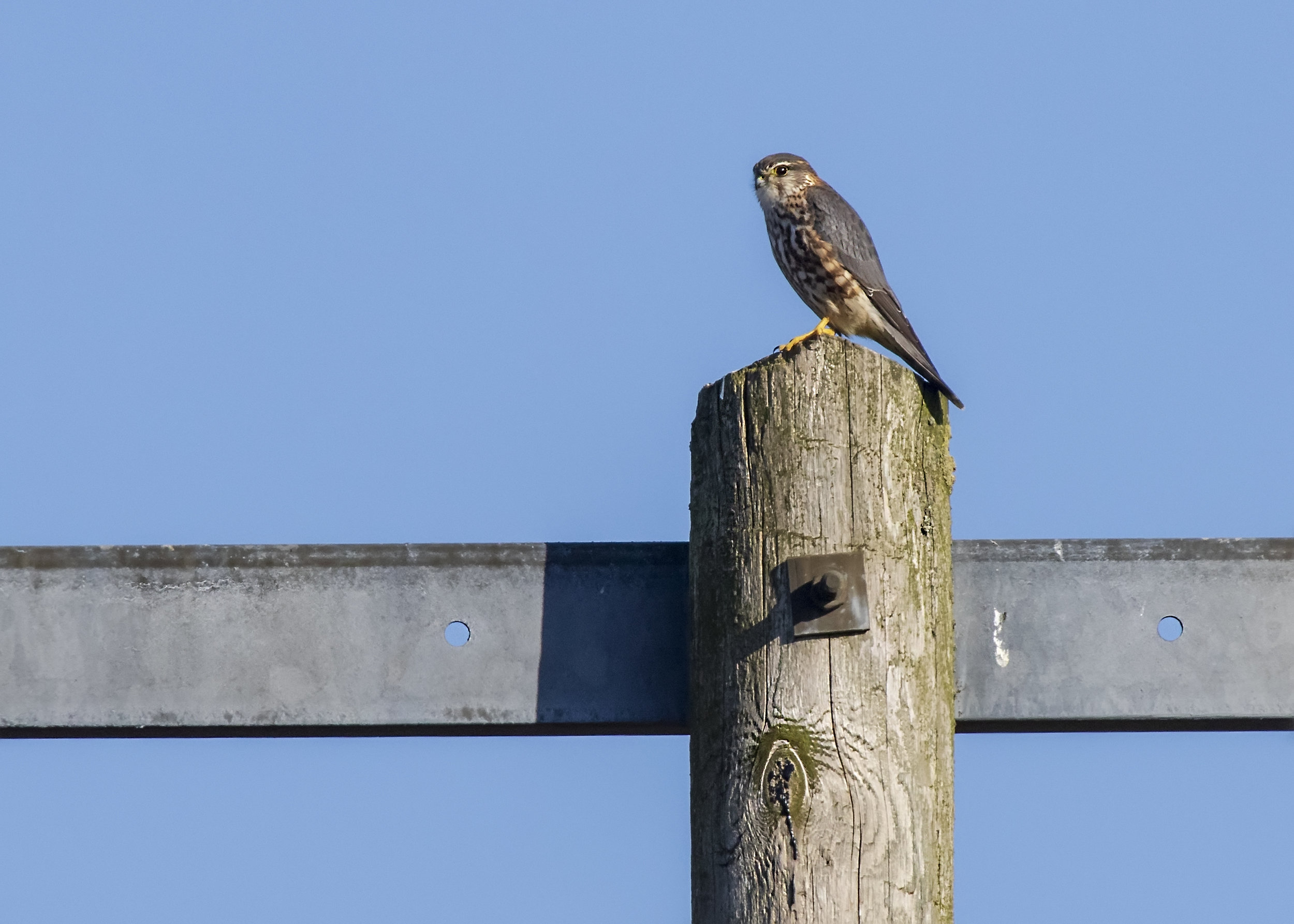 Male Merlin 27th February.jpg