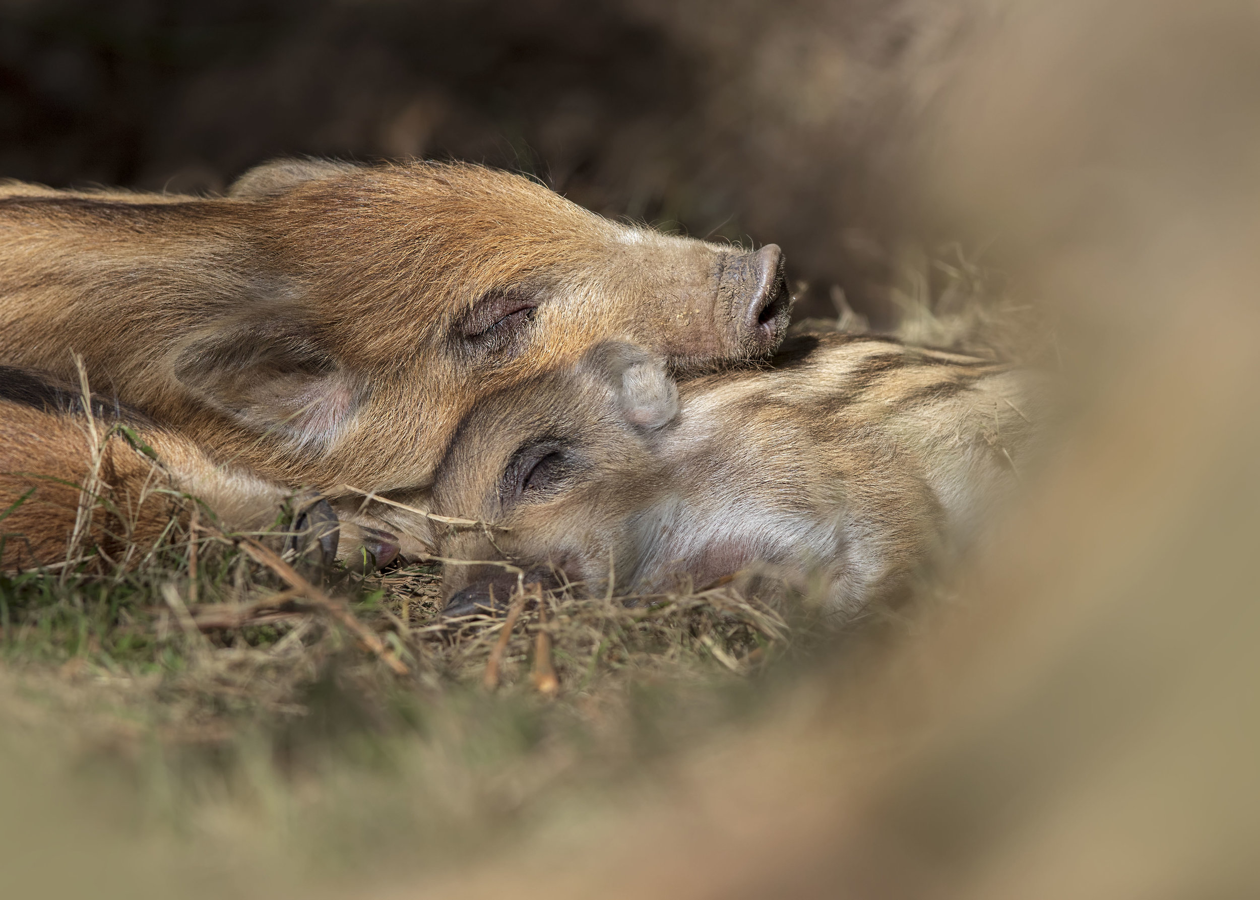 Sleepy Wild Boar 25th March.jpg