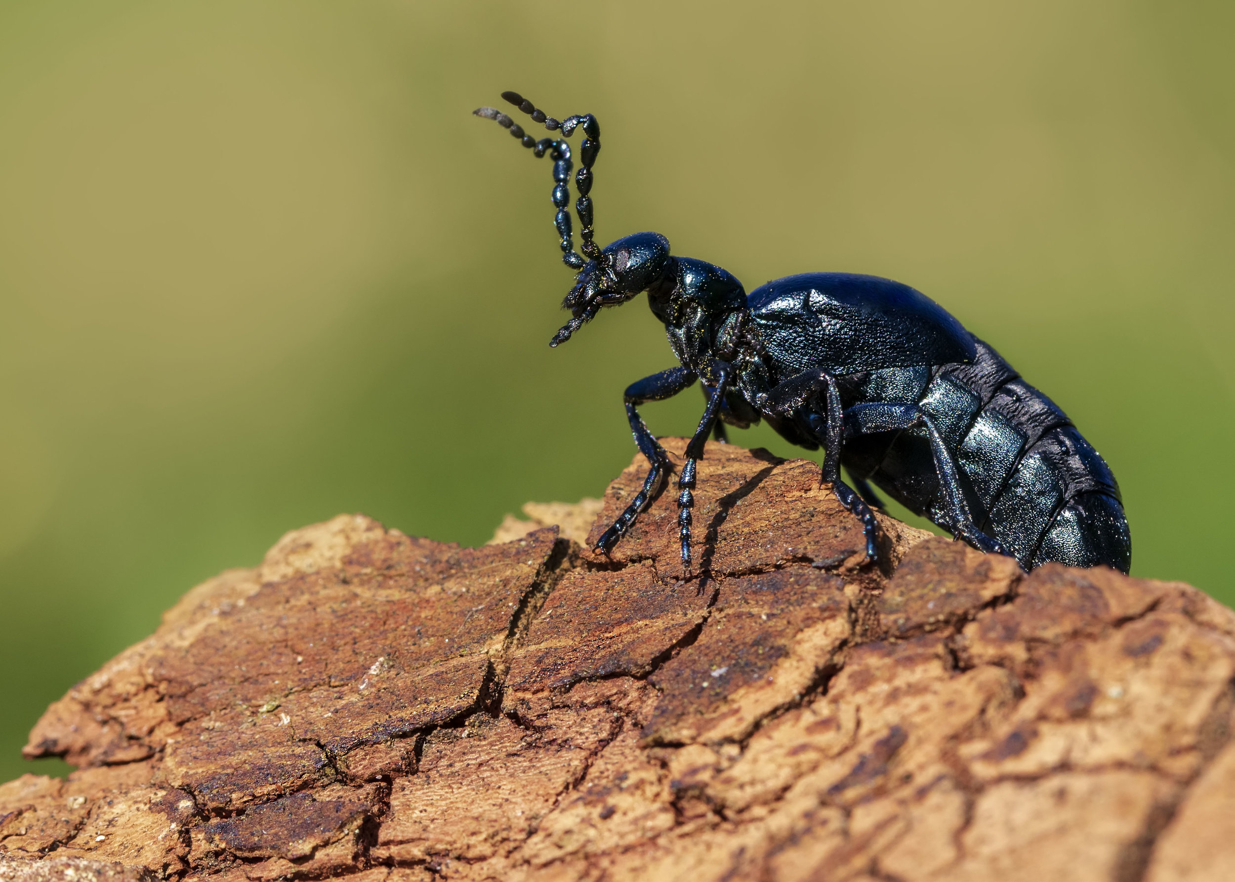 Voilet Oil Beetle2 27th March.jpg
