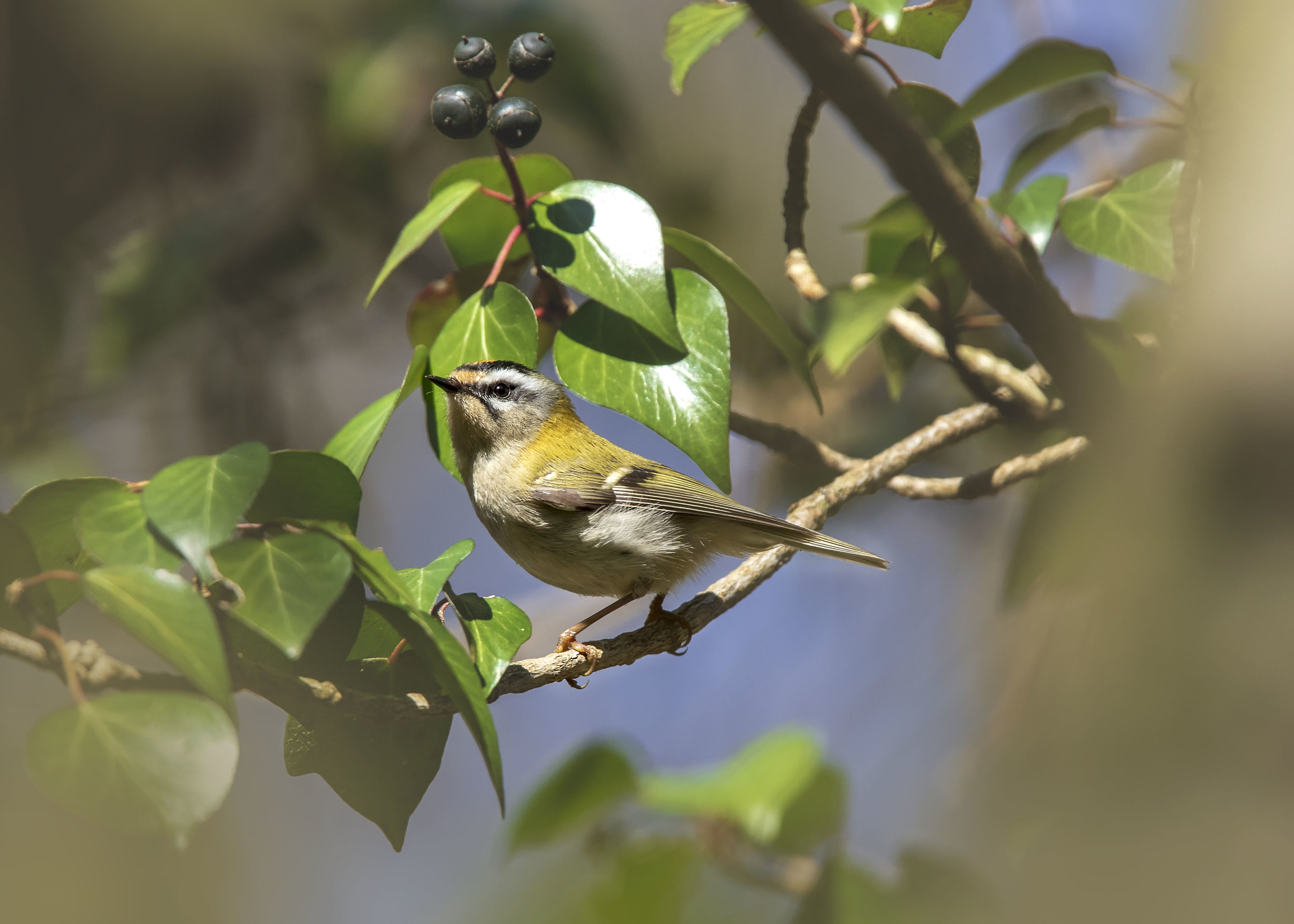 Mimicking Firecrest | March 2019