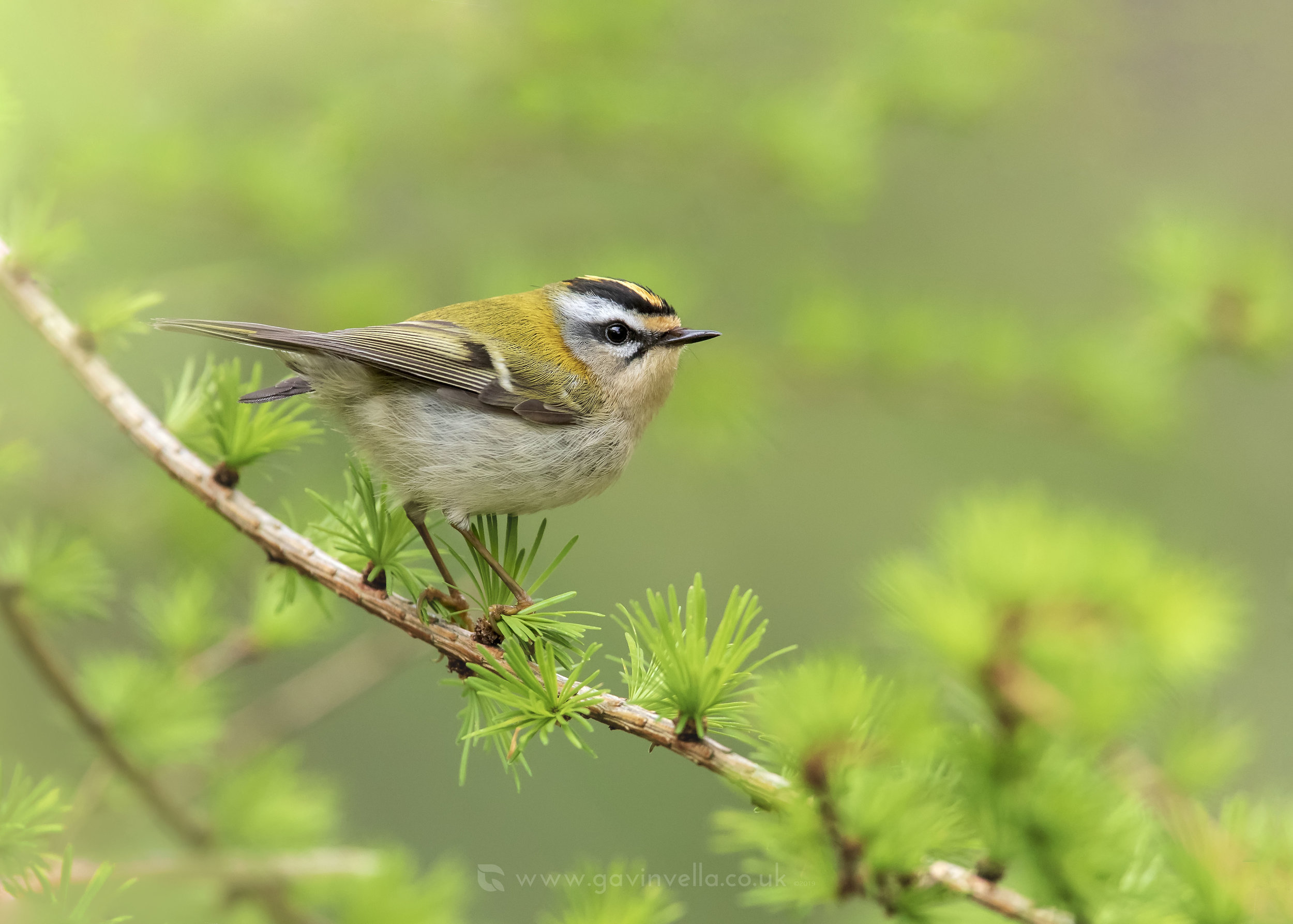 Firecrest CW 18th April.jpg
