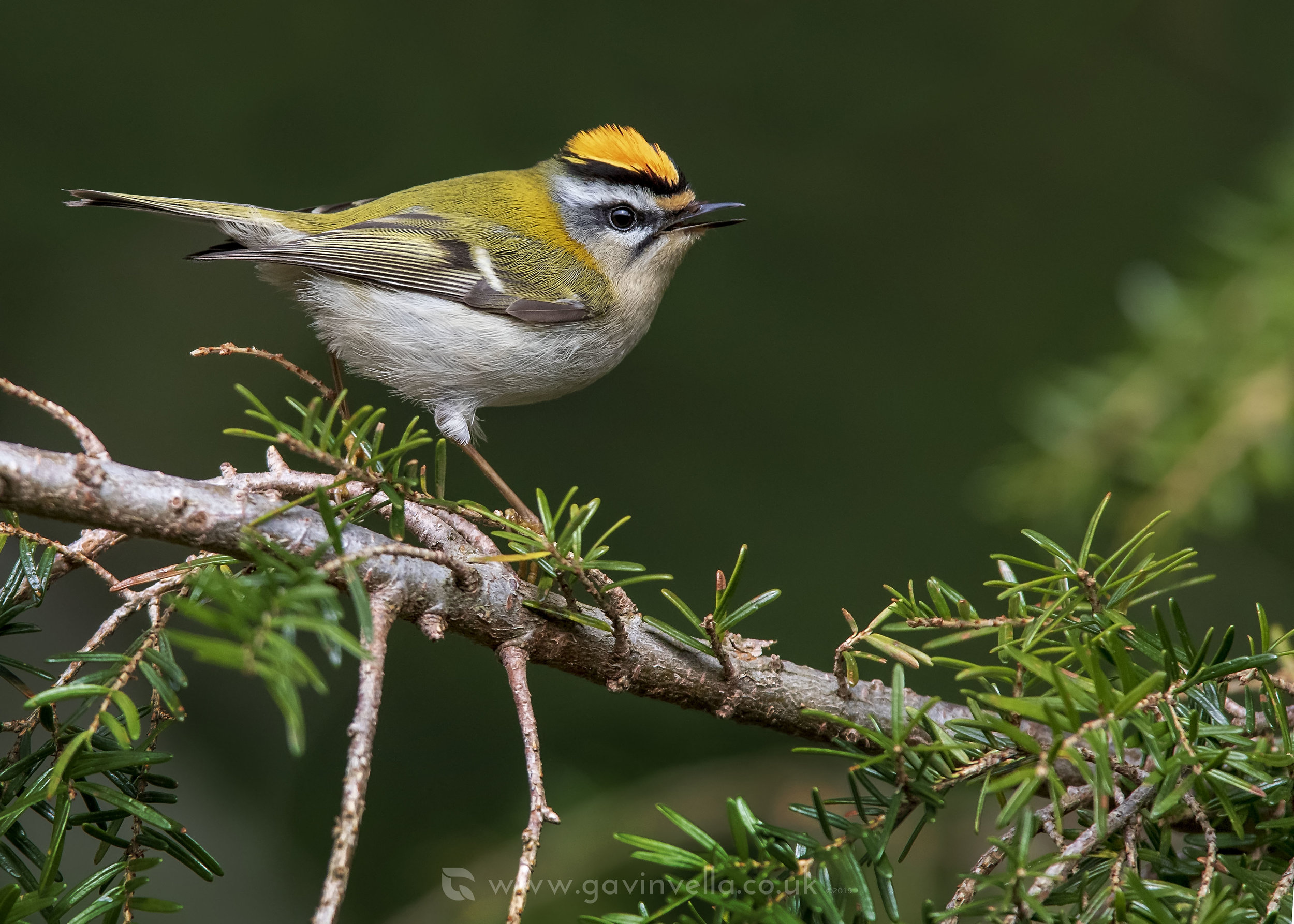 Firecrest Song W 18th April.jpg