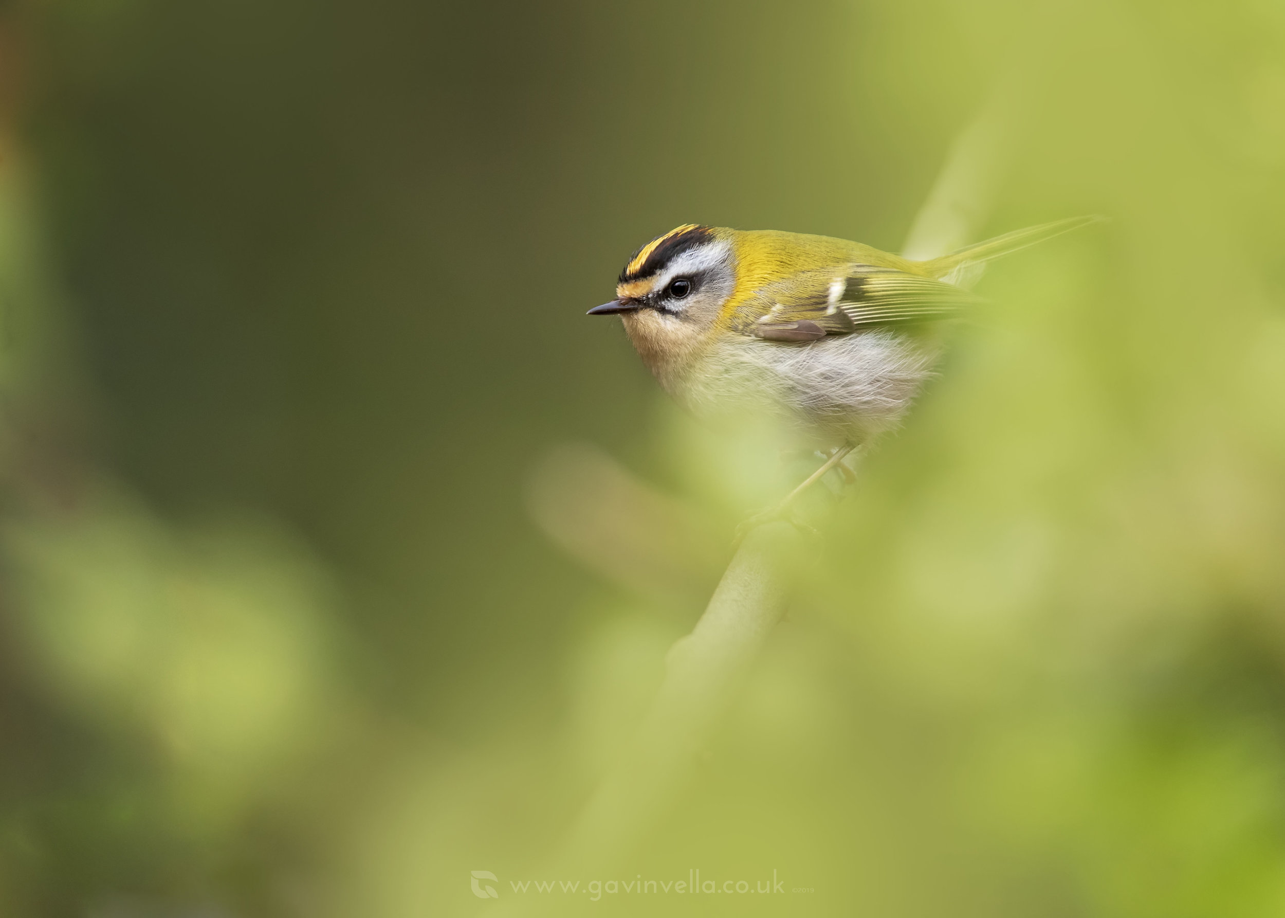 Firecrest Cover W 19th April.jpg