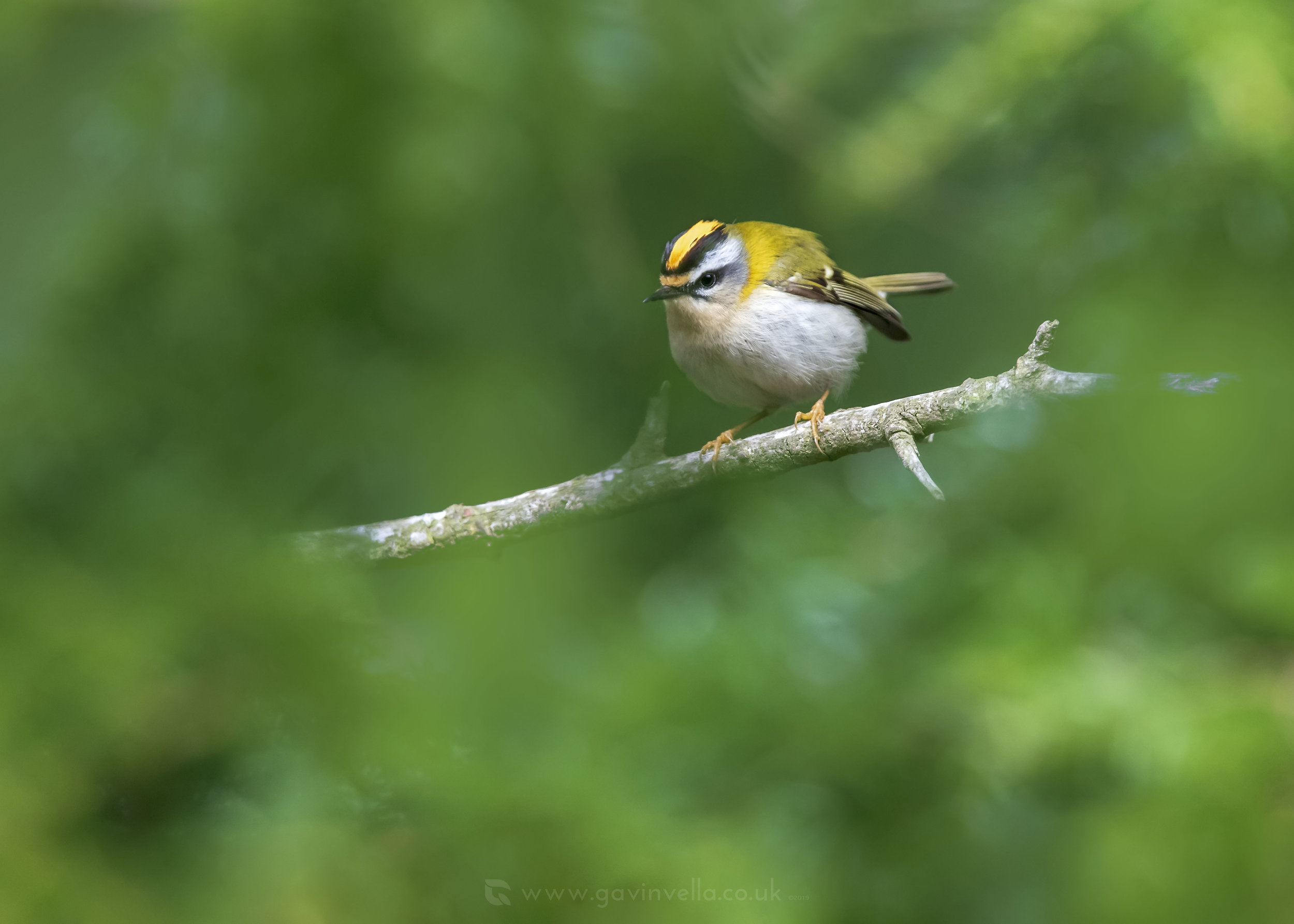 Firecrest Framed W 18th April.jpg