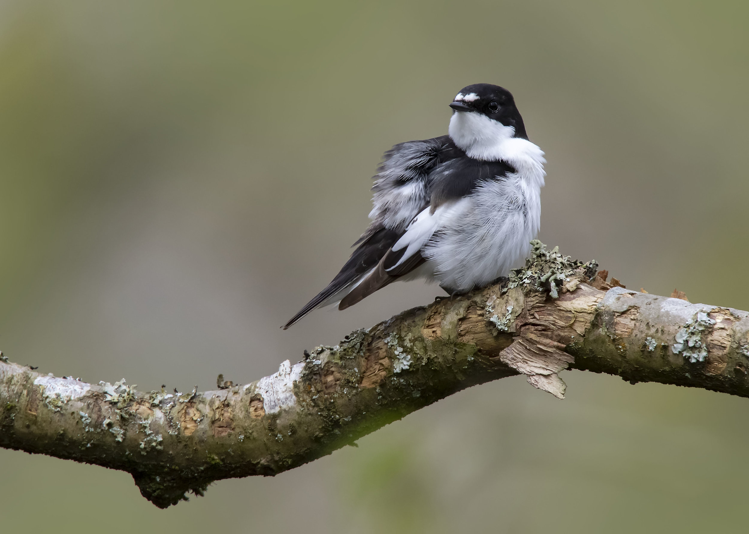 Pied Flycatcher 18th April.jpg