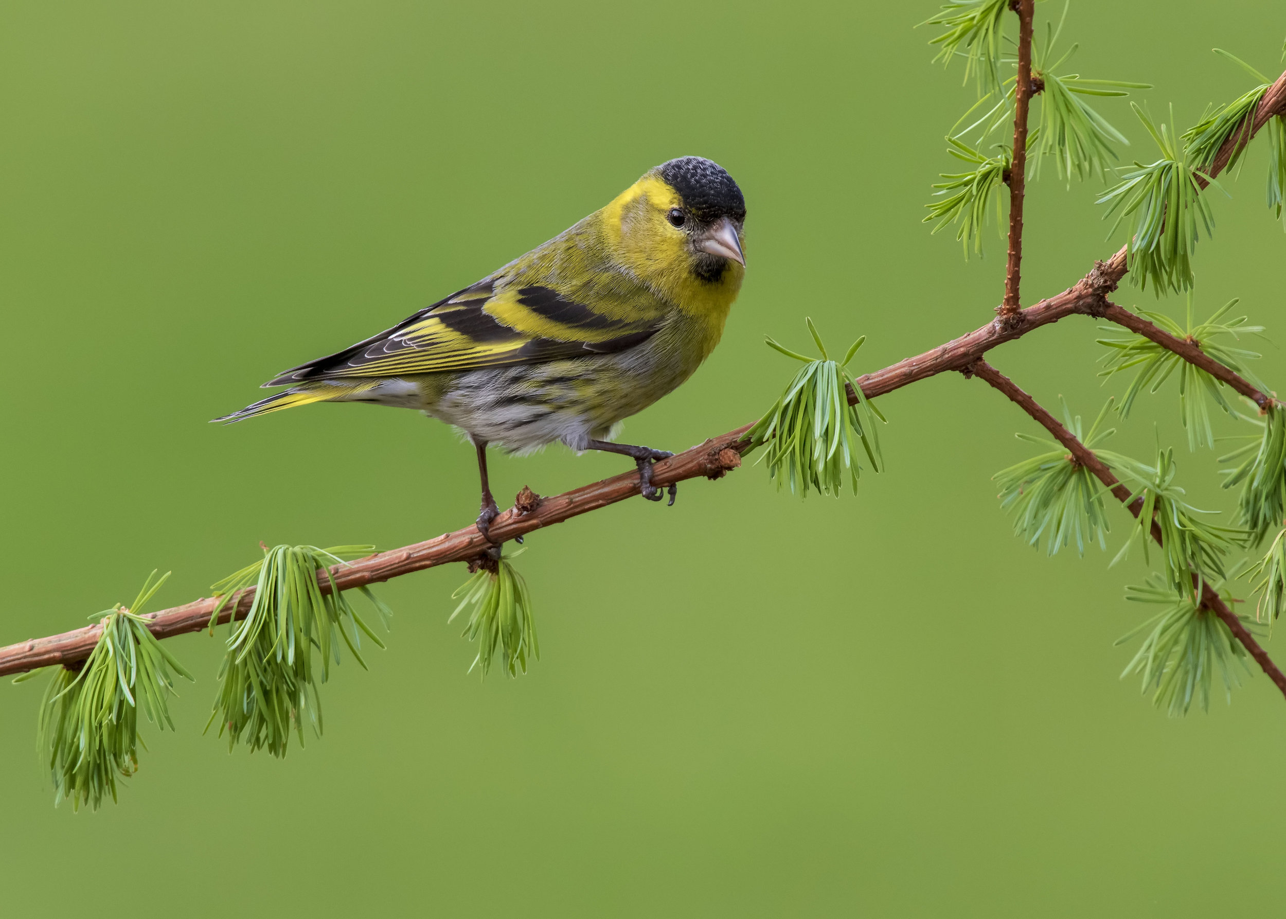 Siskin Male 18th April.jpg