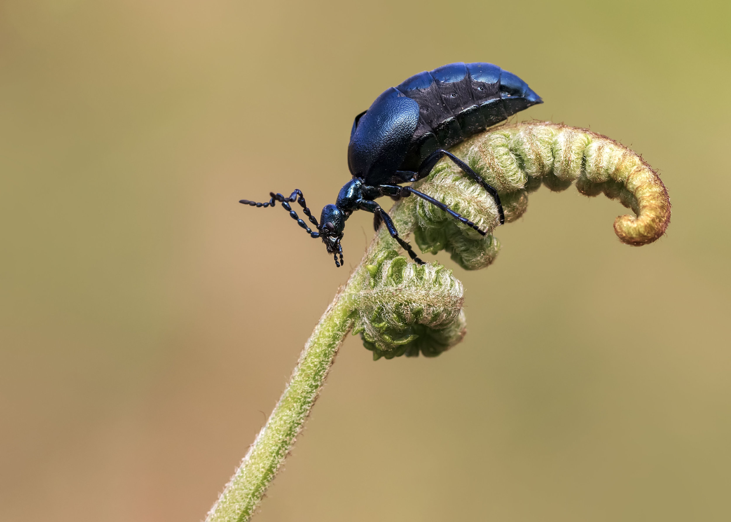 Voilet Oil Beetle Male Fern 17th April.jpg