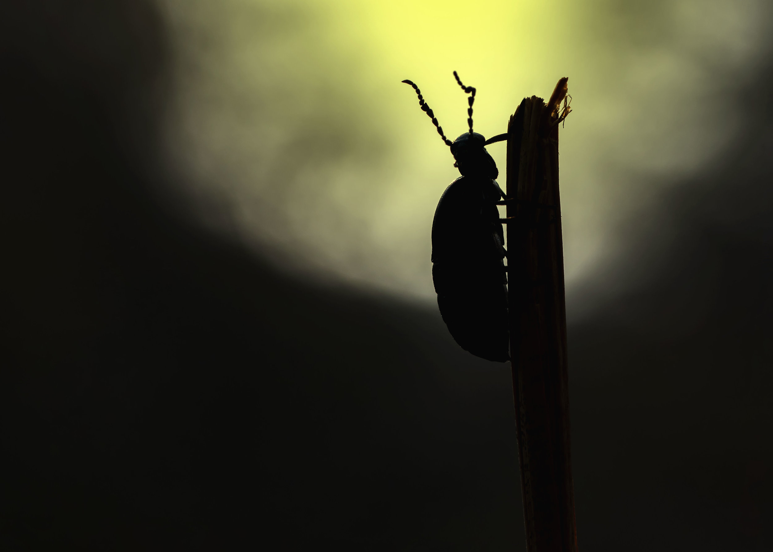 Oil Beetle Sunset 17th April.jpg