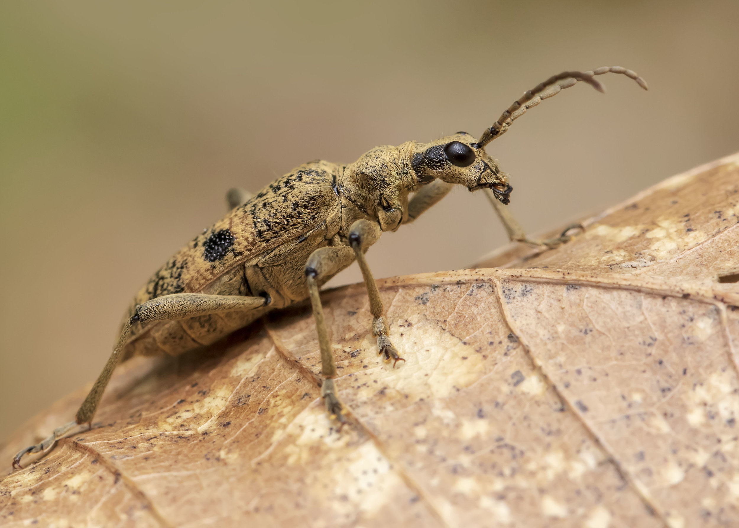 Black-spotted Longhorn Beetle 23rd April.jpg