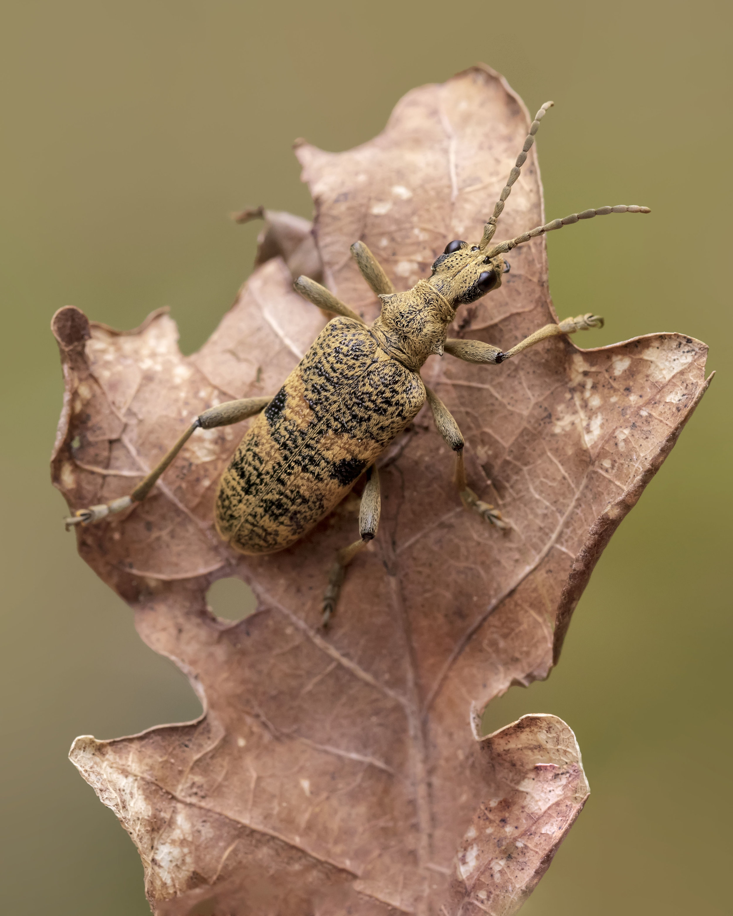 Black-spotted Longhorn Beetle L 23rd April.jpg