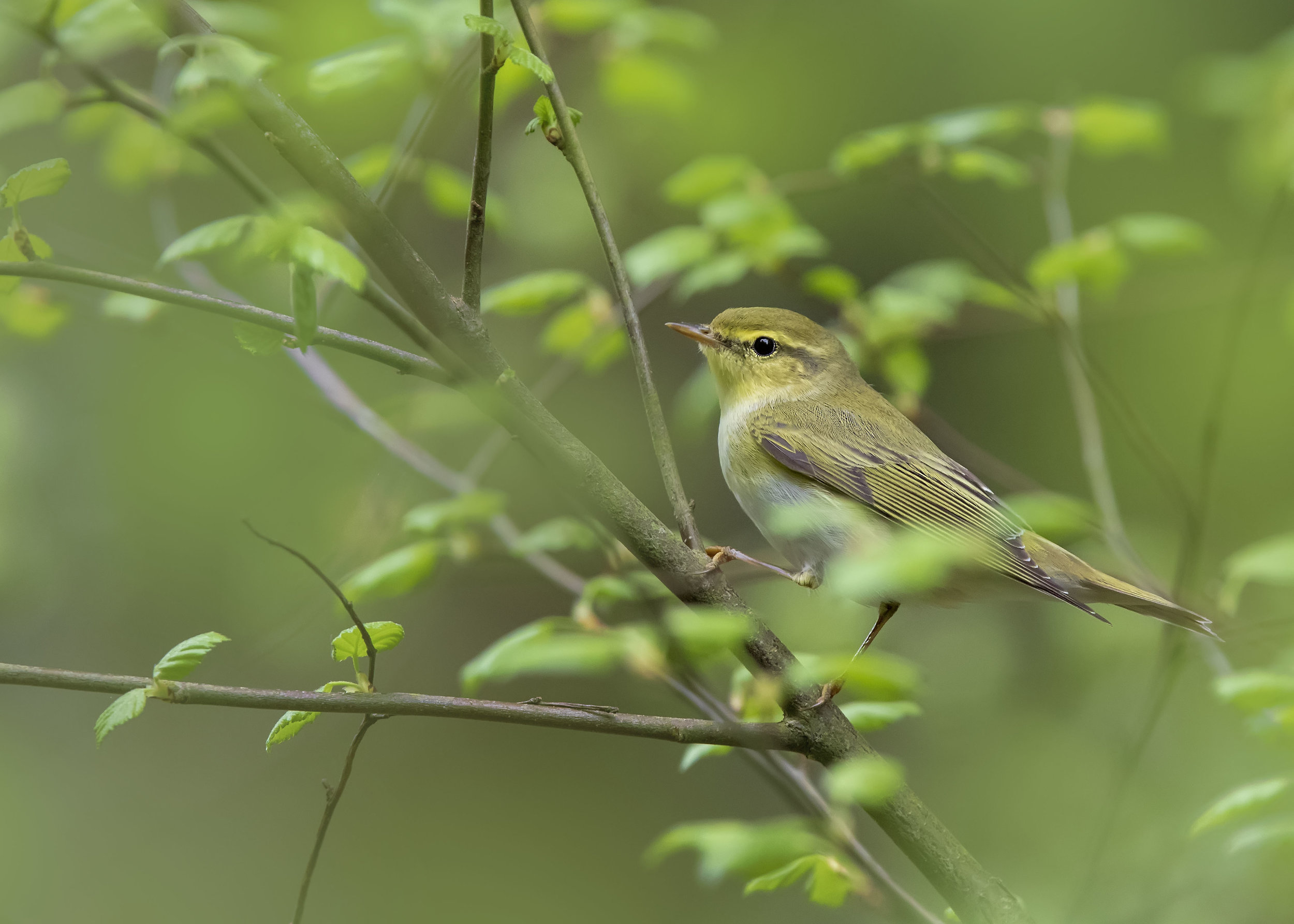 Wood Warbler 23rd April.jpg