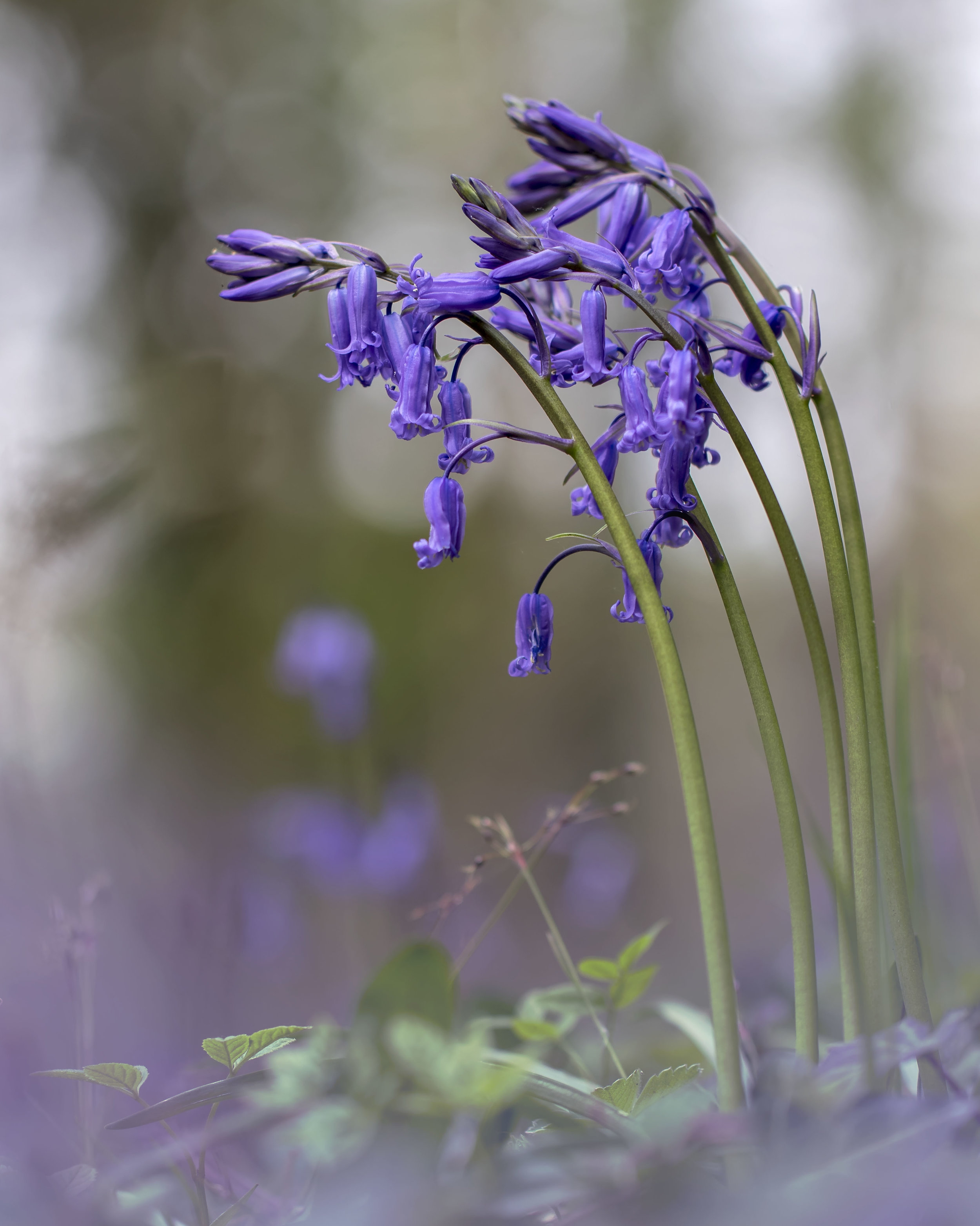 Bluebells 23rd April.jpg
