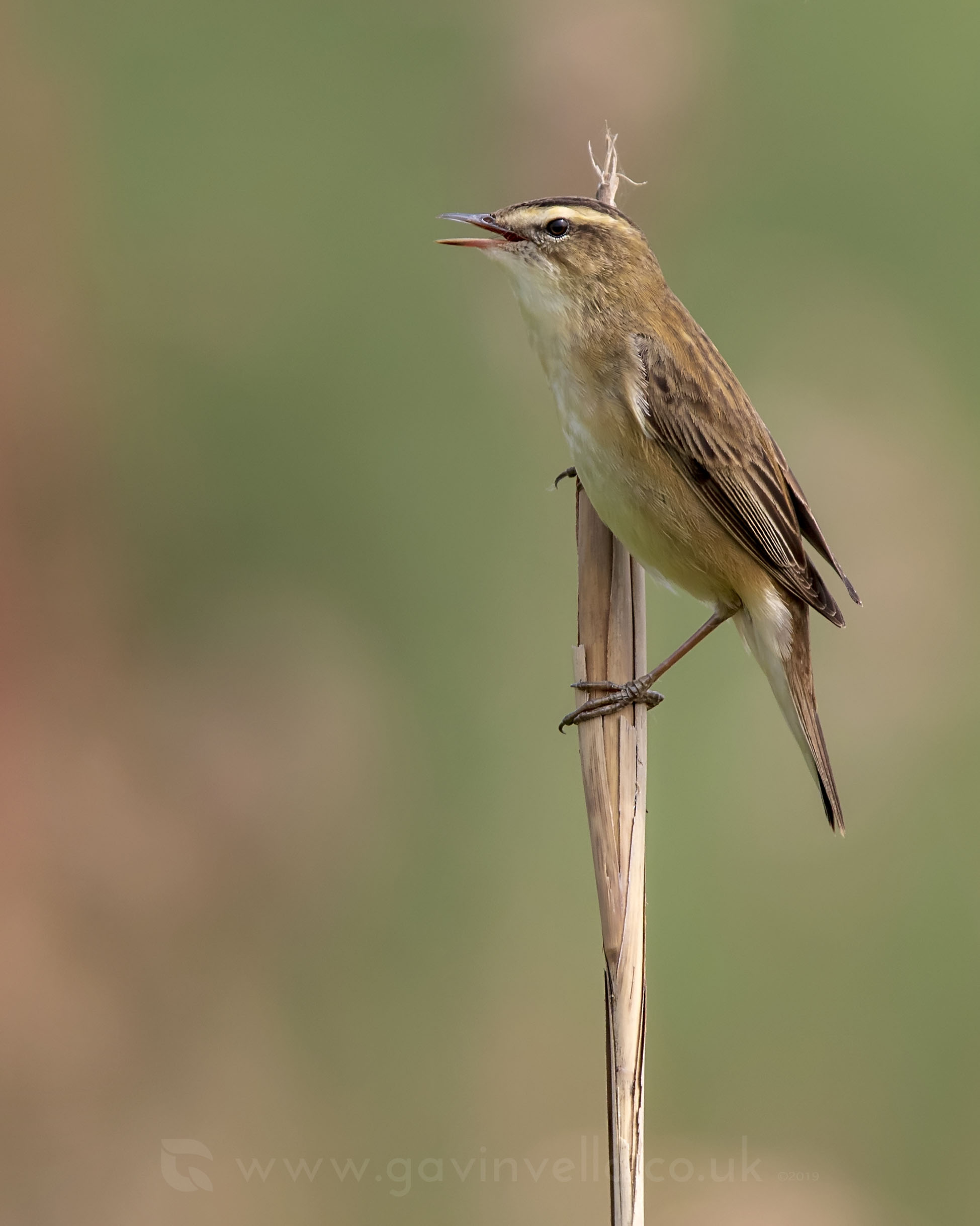 Sedge Warbler W 22nd April.jpg