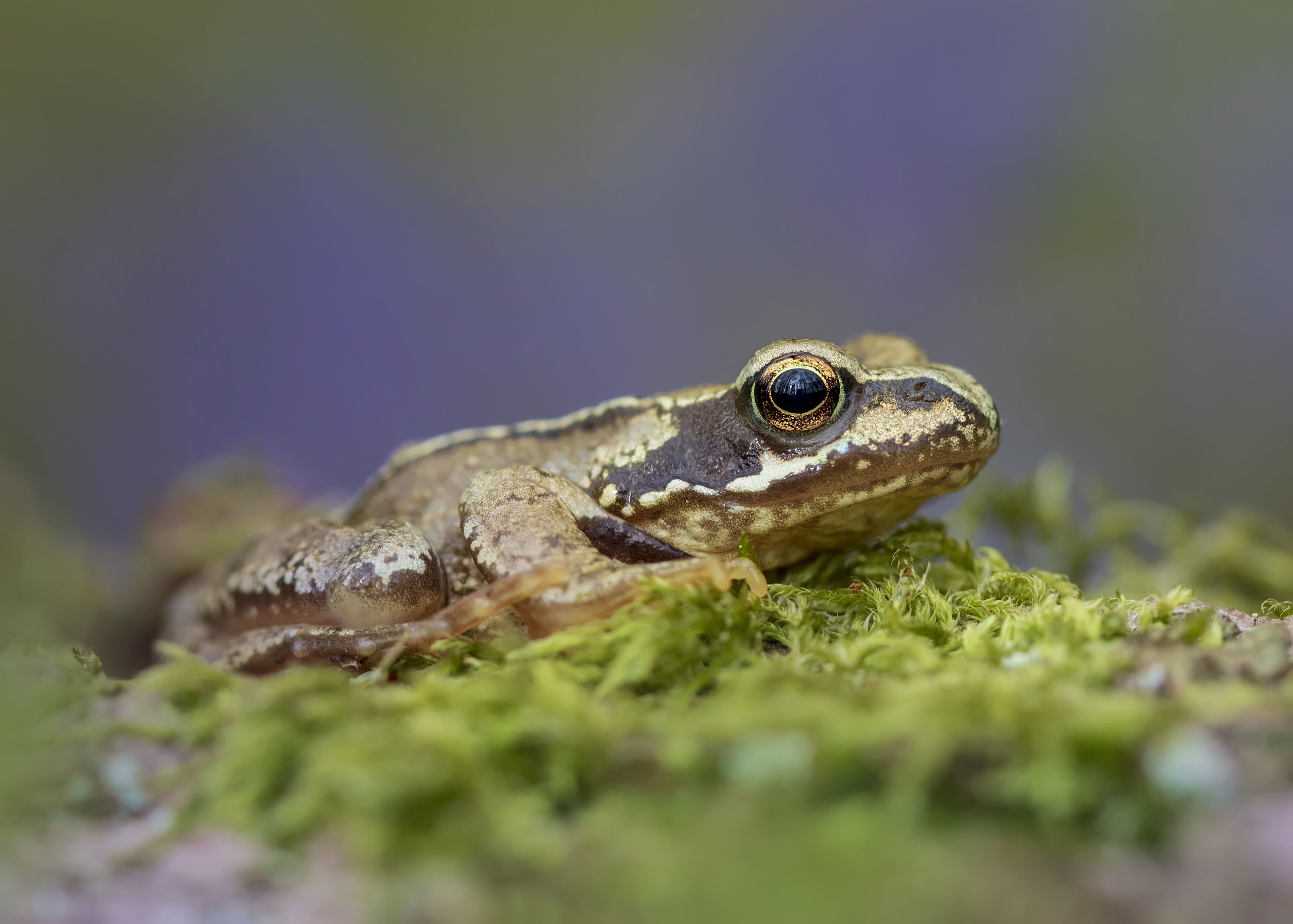 Froglet Closeup Bluebells 29th April.jpg