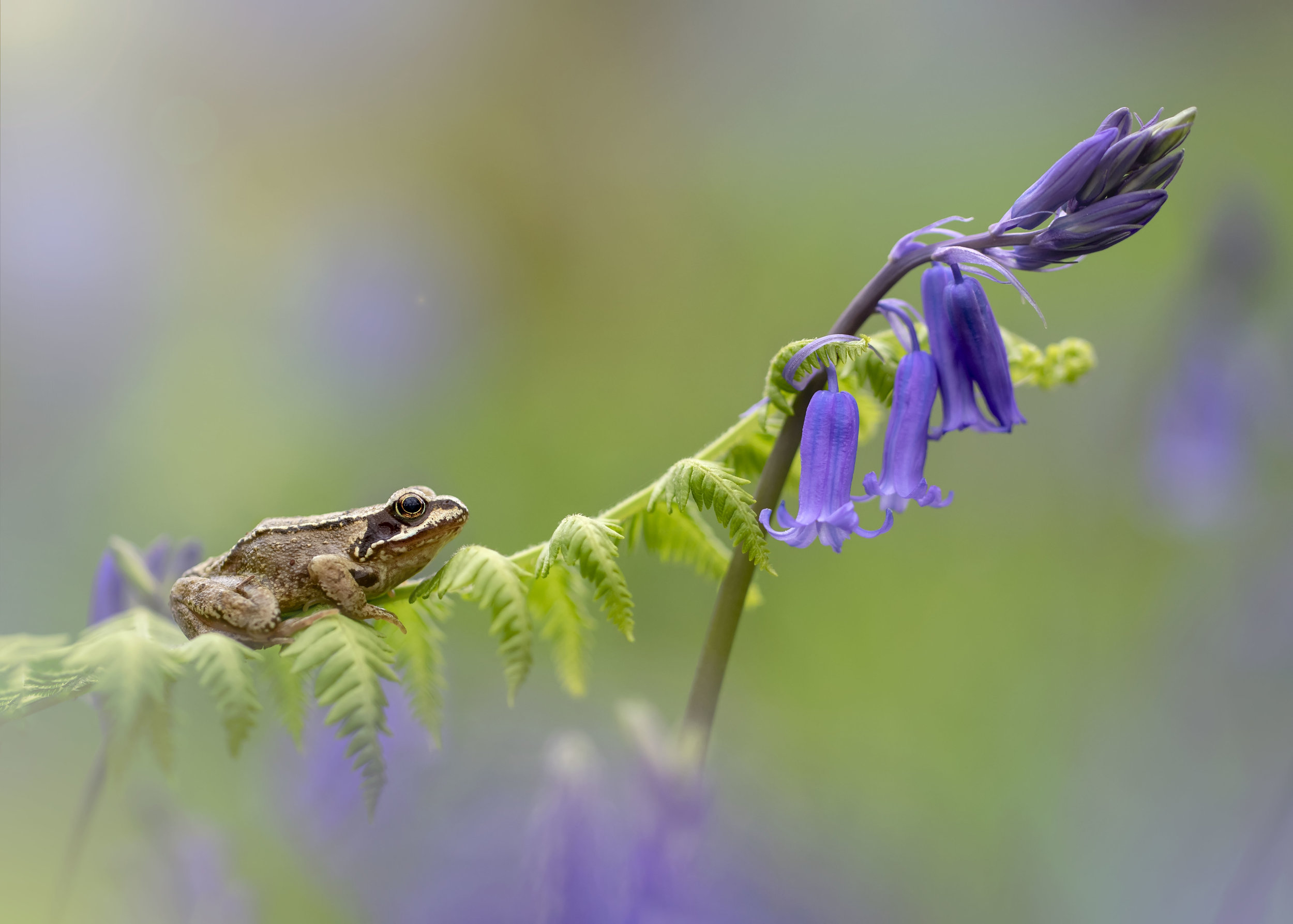 Common Frog Bluebells 28th April.jpg