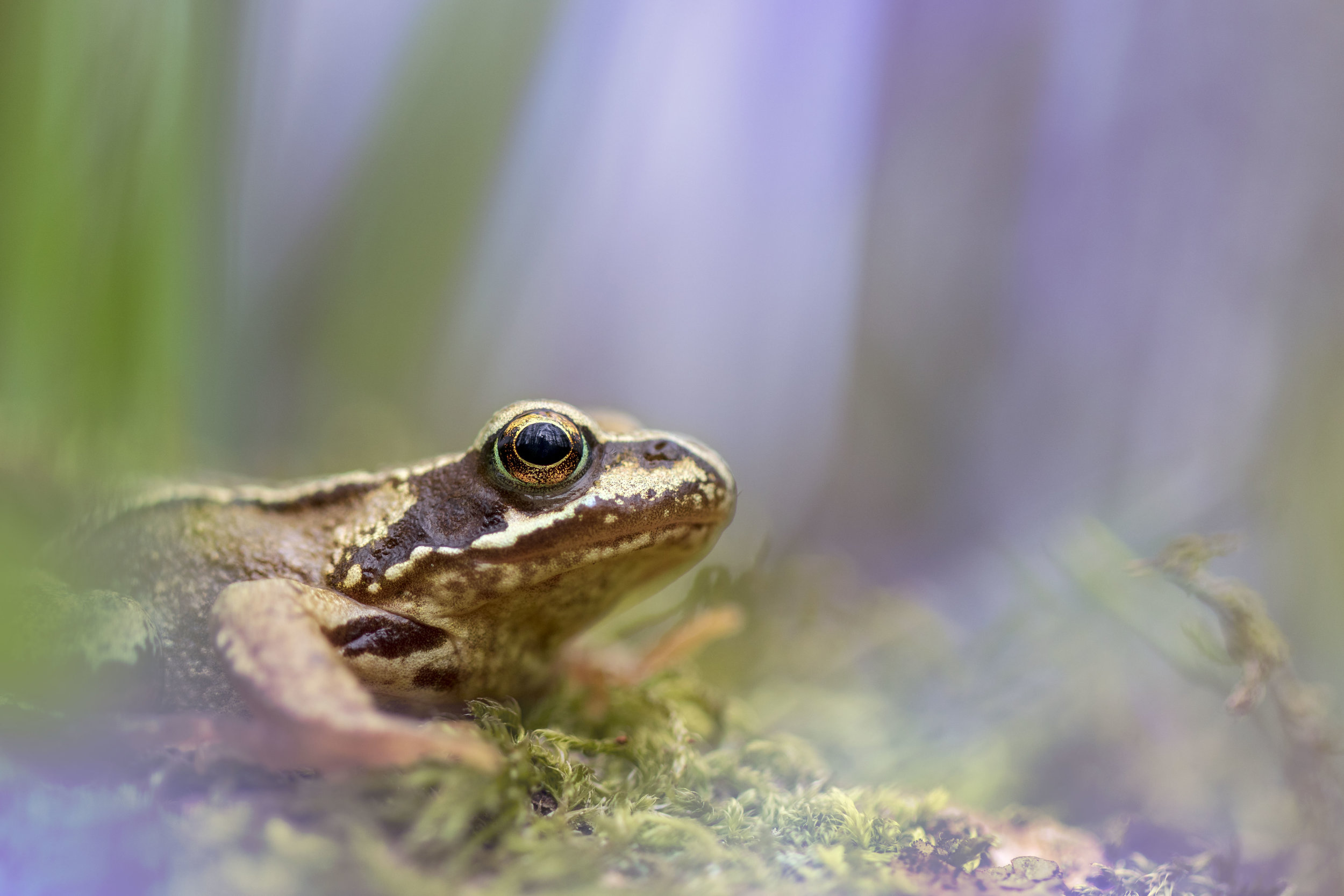 Common Frog Bluebell 28th April.jpg