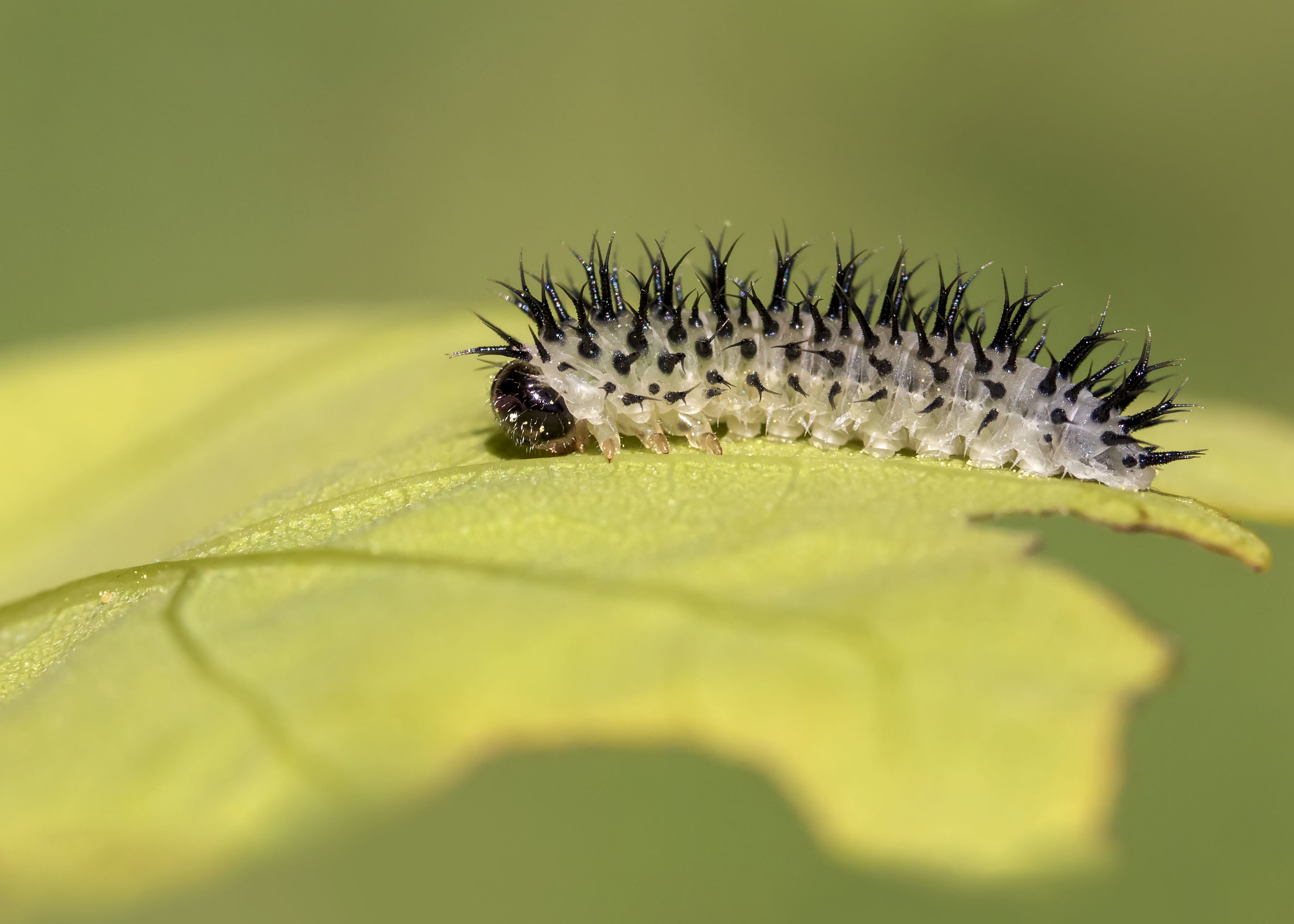 Caterpillar 12th May.jpg