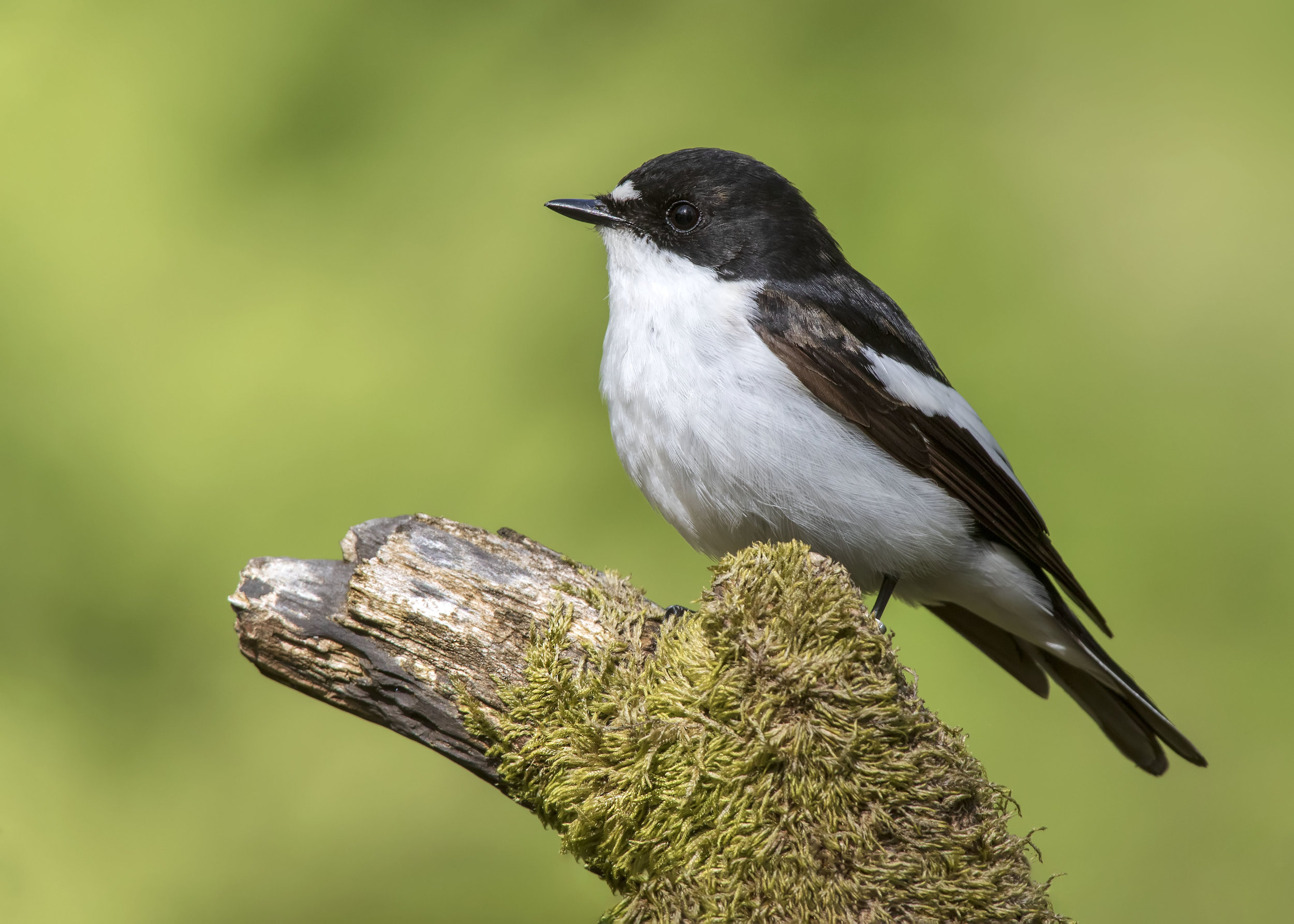 Pied Flycatcher Male FF 13th May.jpg