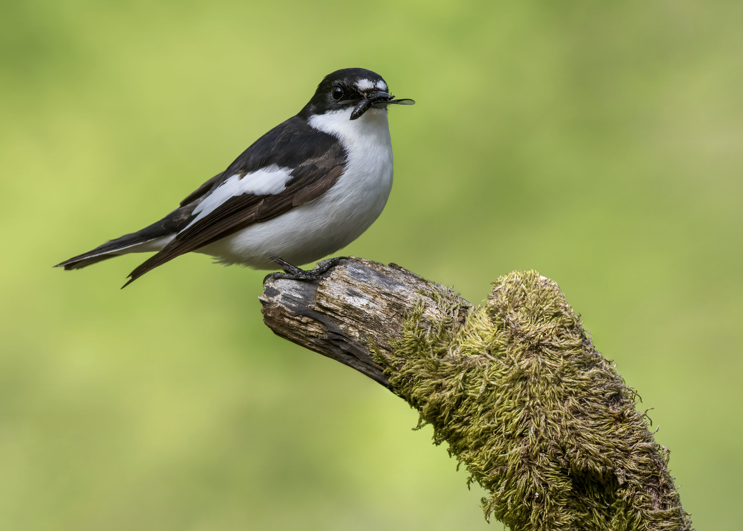 Pied Flycatcher Male WF 13th May.jpg