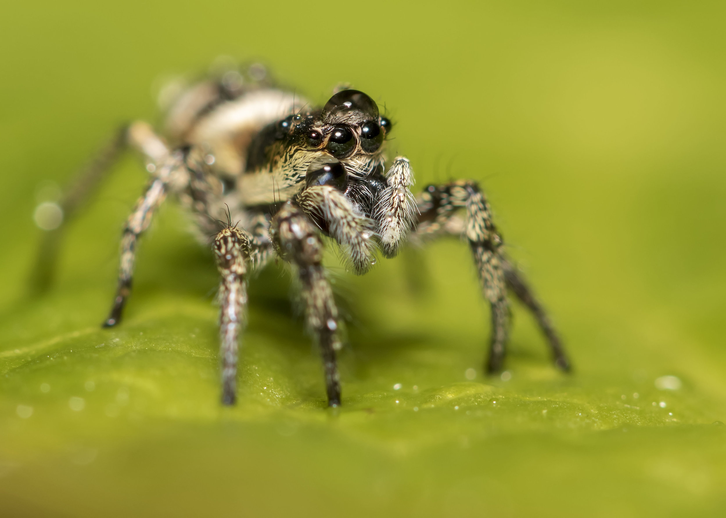 Zebra Spider Water Hat 11th May.jpg