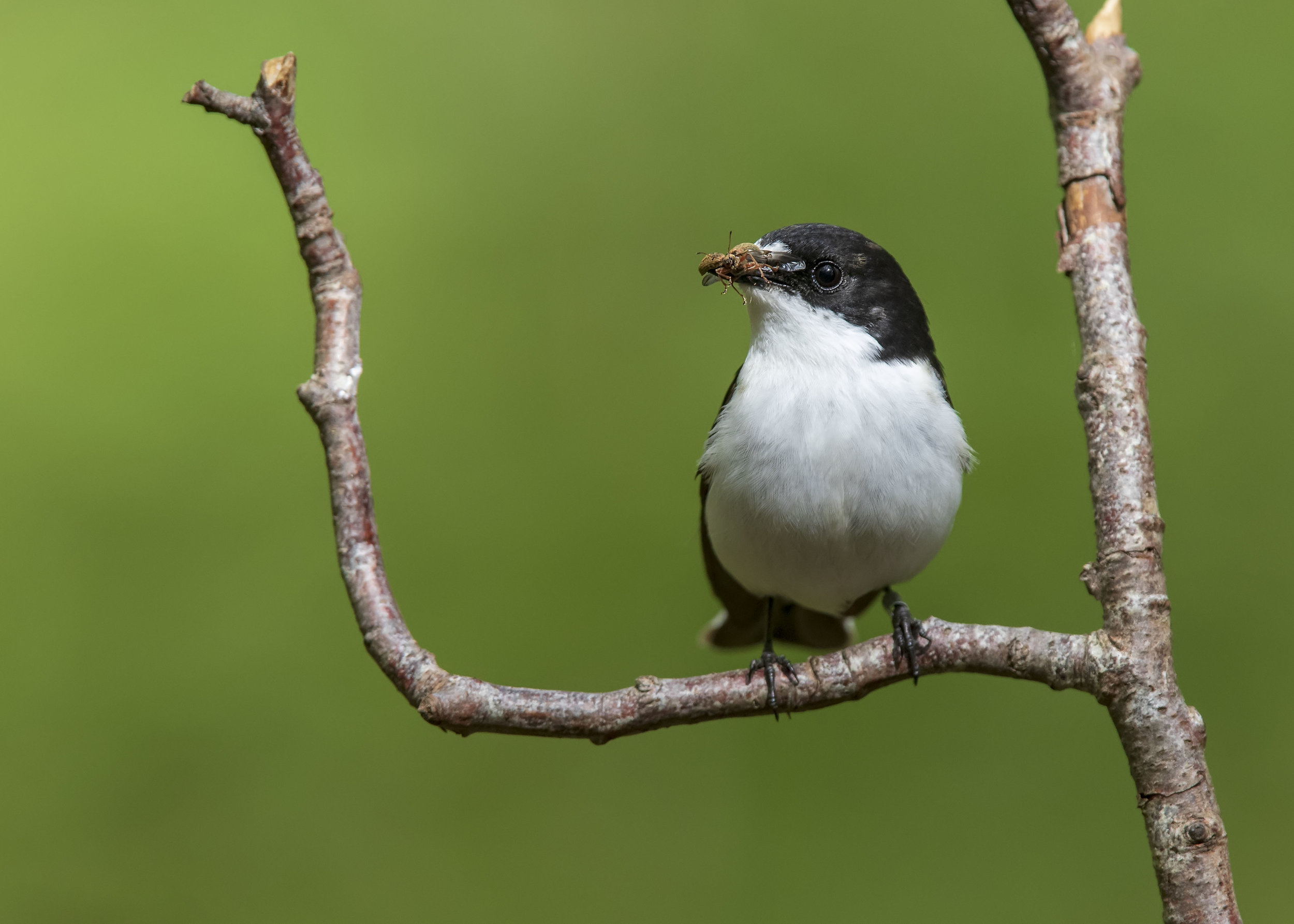 Pied Flycatcher M 10th May.jpg