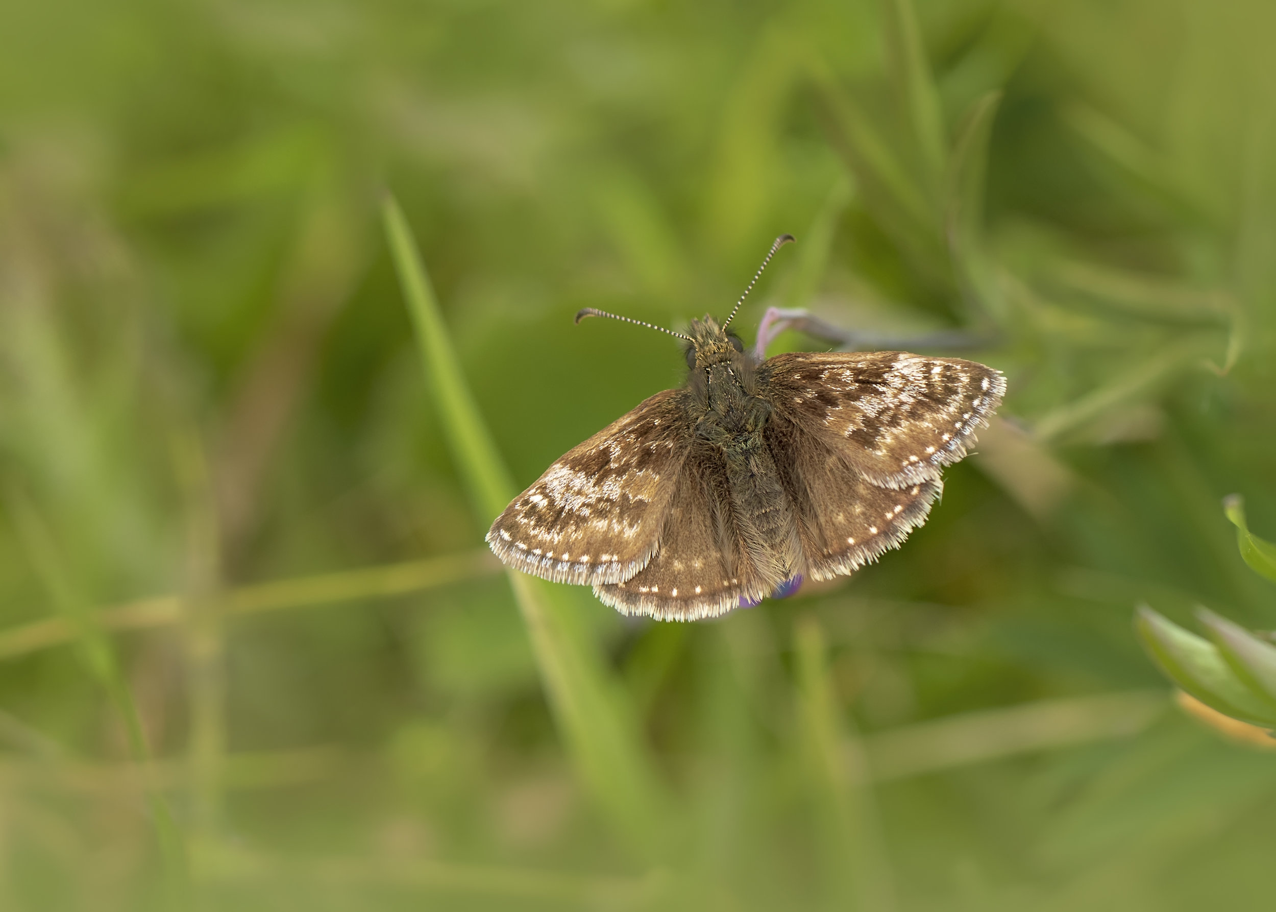 Grizzled Skipper 21st May.jpg