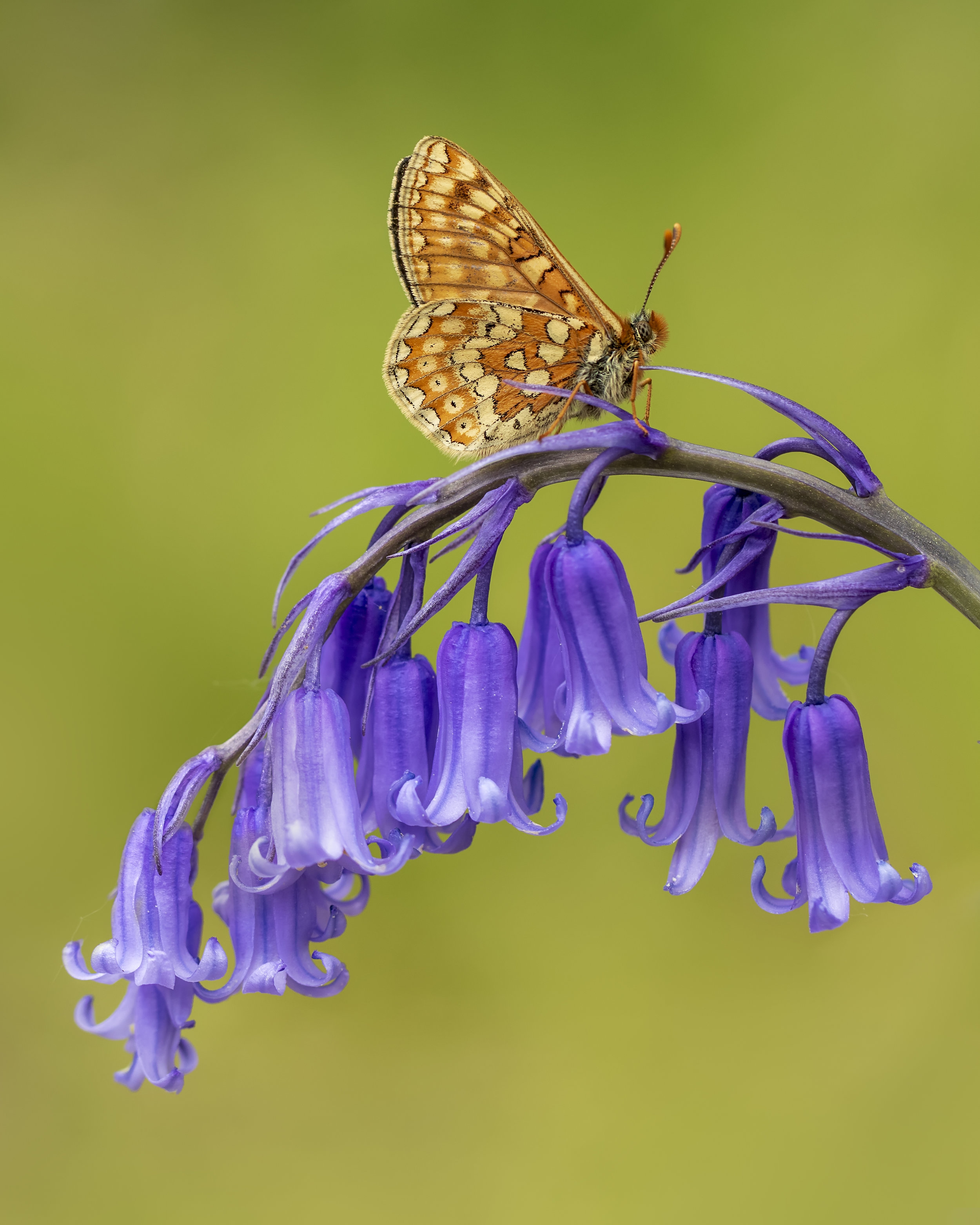 March Fritillary Bluebell Portrate 21st May.jpg