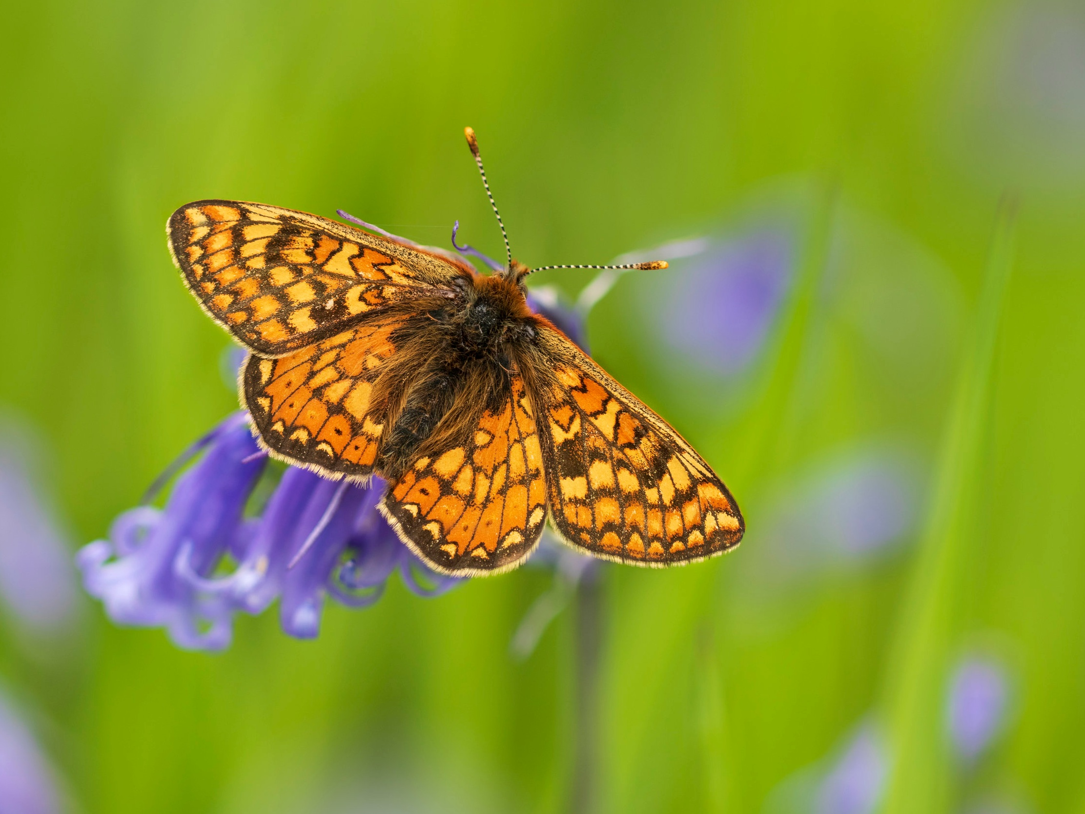 Marsh Fritillary  CF 21st May.jpg
