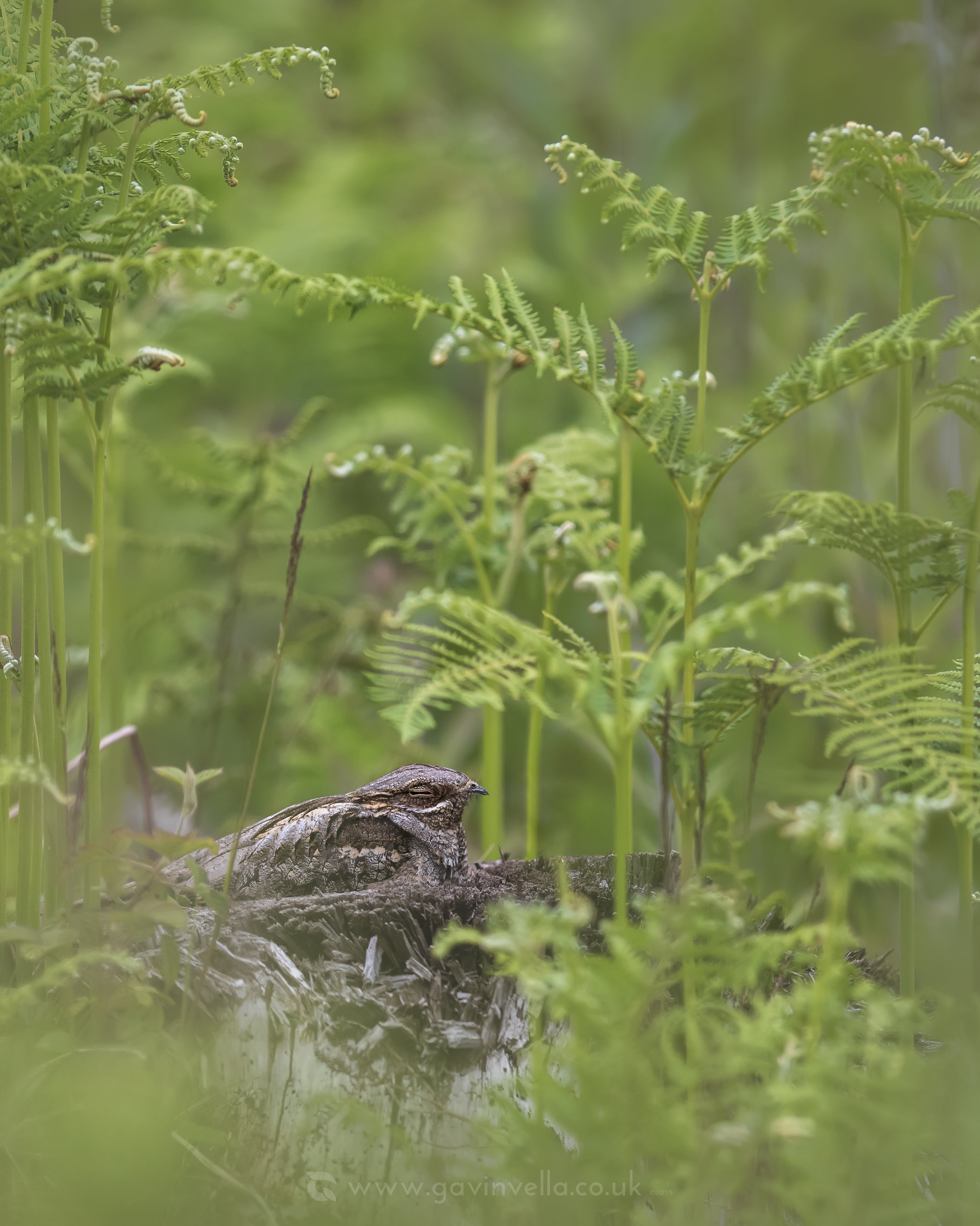Nightjar B Scene W 24th May.jpg