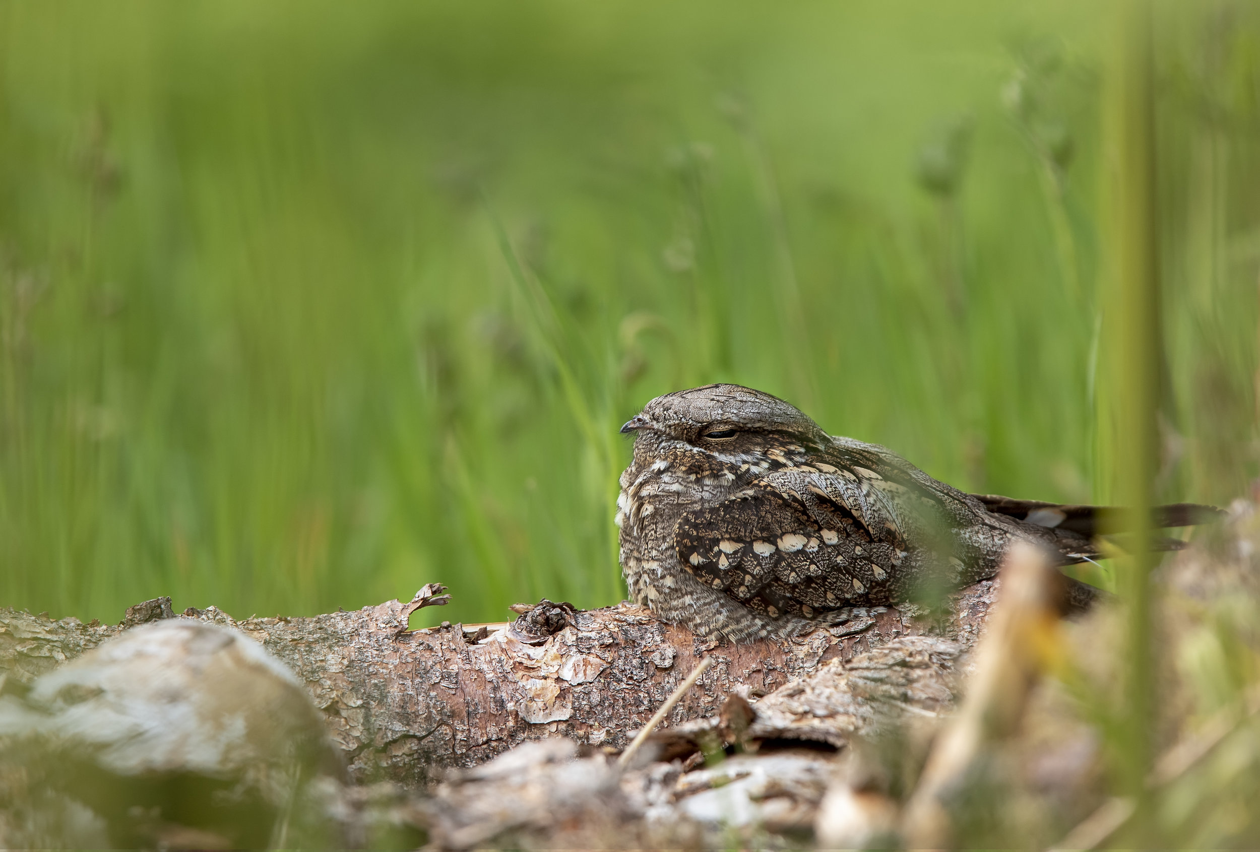 Nightjar Log Wide 2nd June.jpg