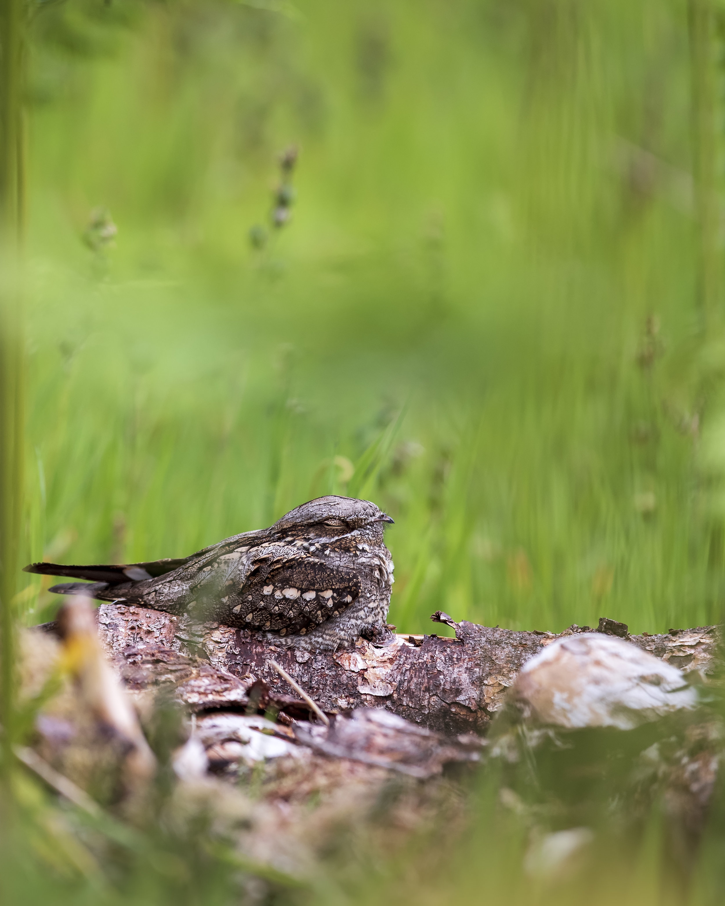 Nightjar Scene 2nd June.jpg