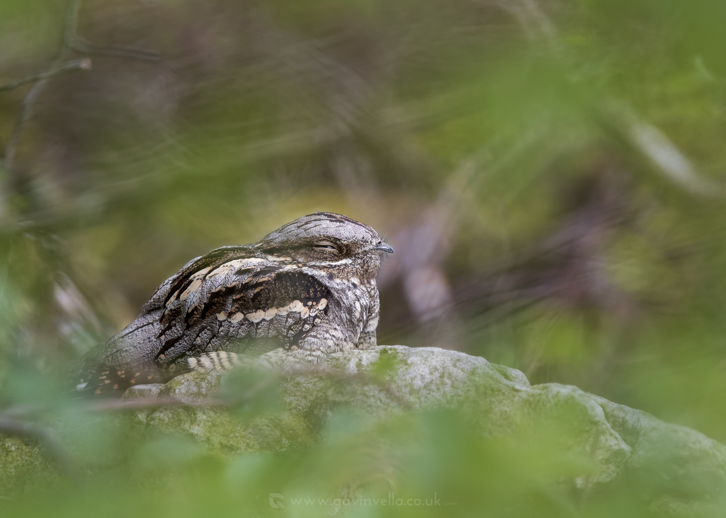 Nightjar Male - Gavin Vella