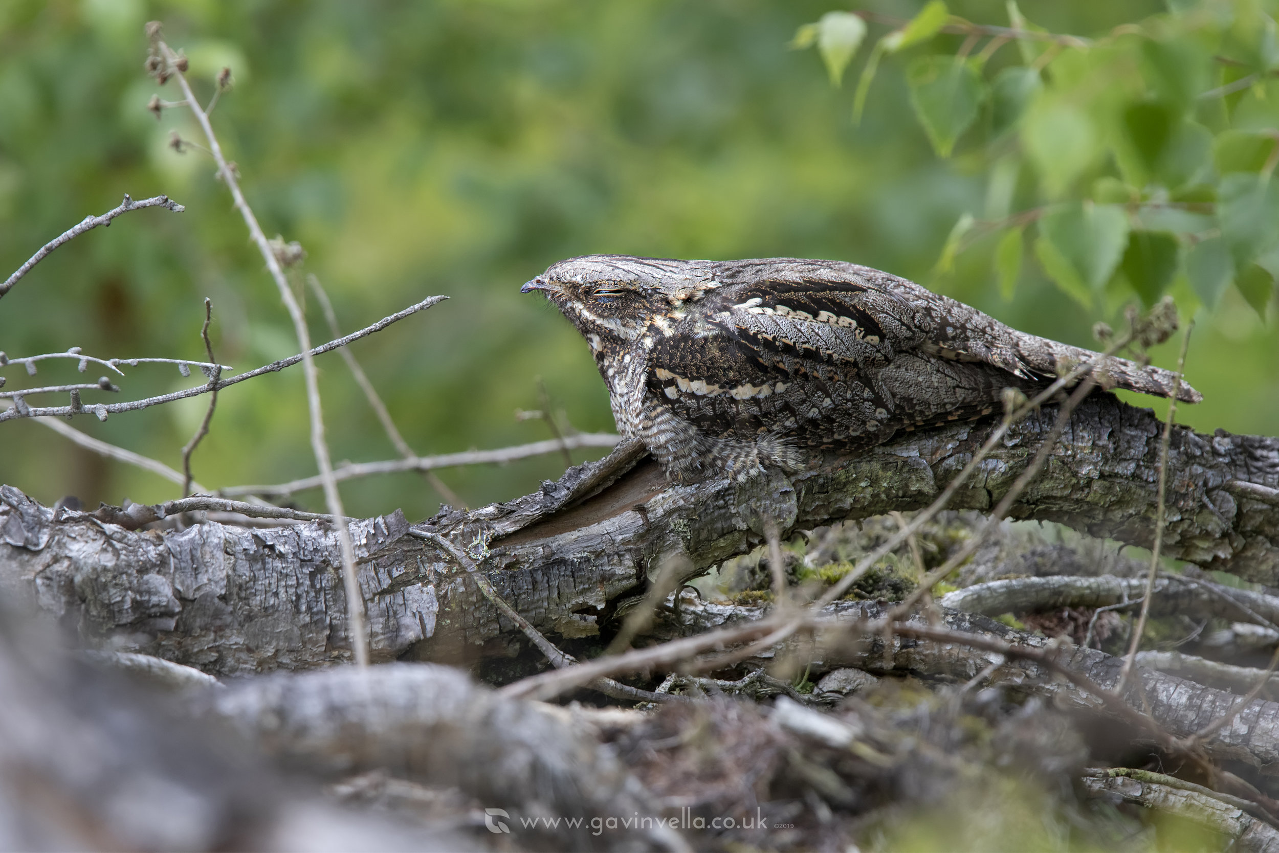 Nightjar Female Gavin Vella