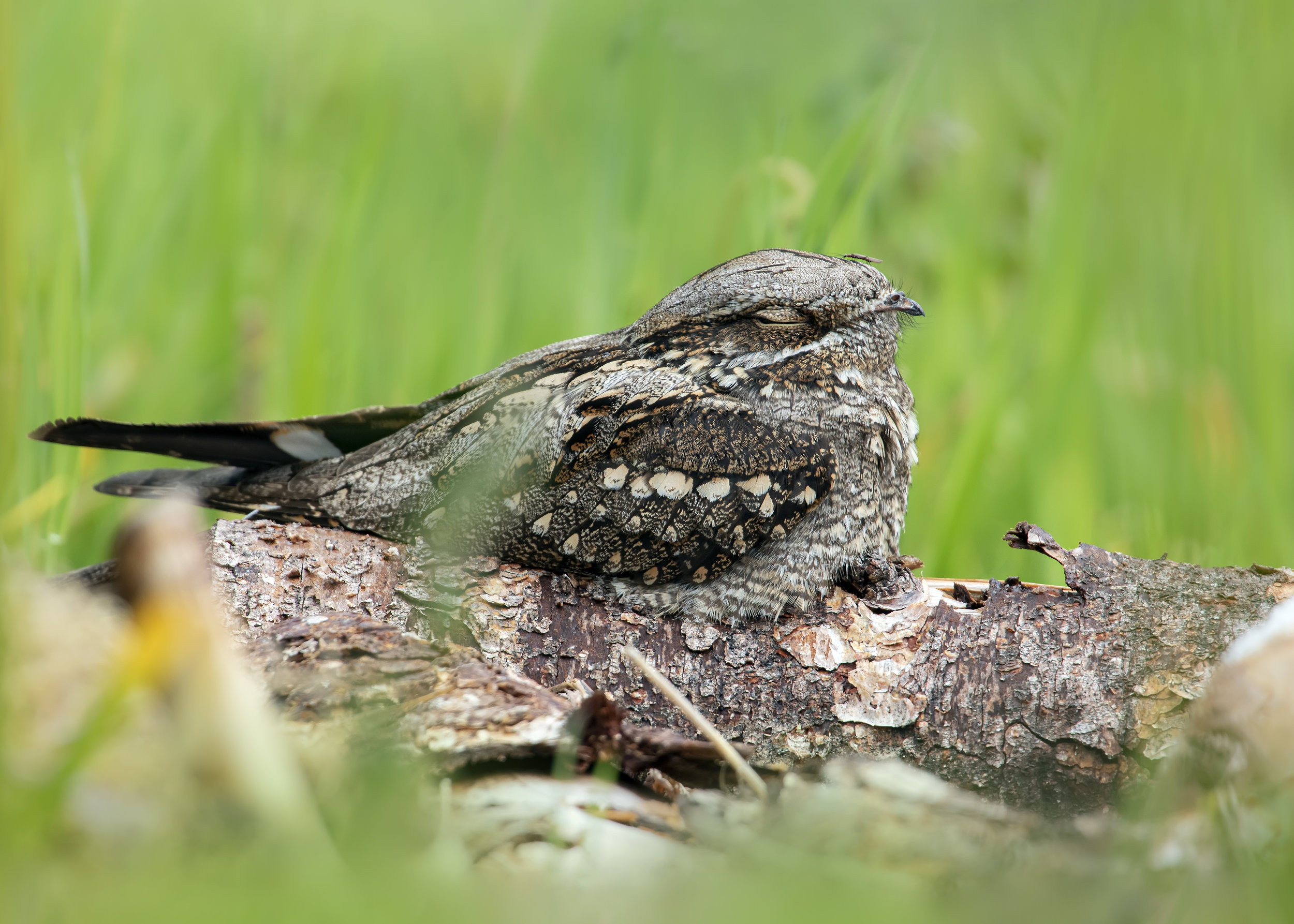 Male Nightjar