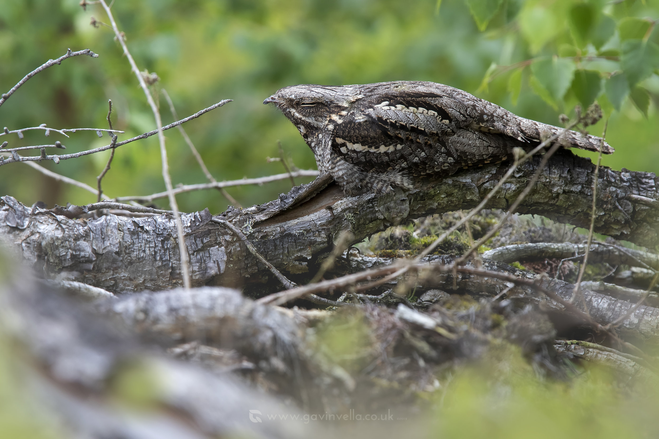Nightjar Log Scene W 19th July .jpg