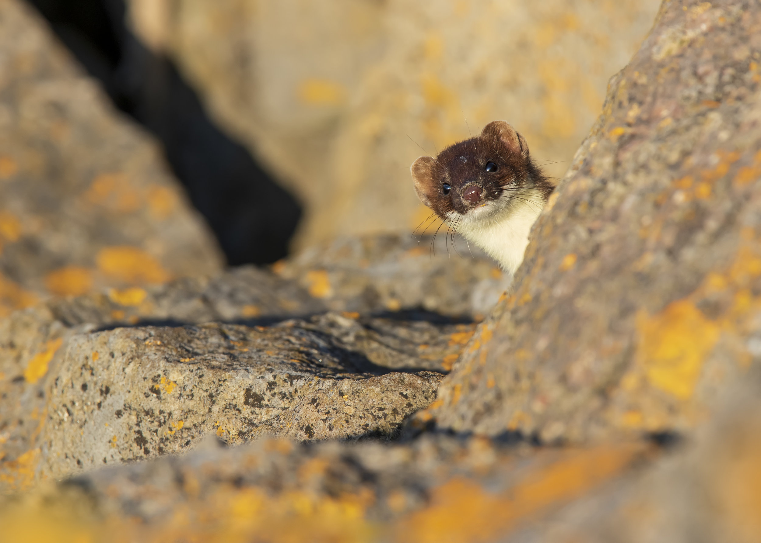 Stoat Peeping 15th July.jpg