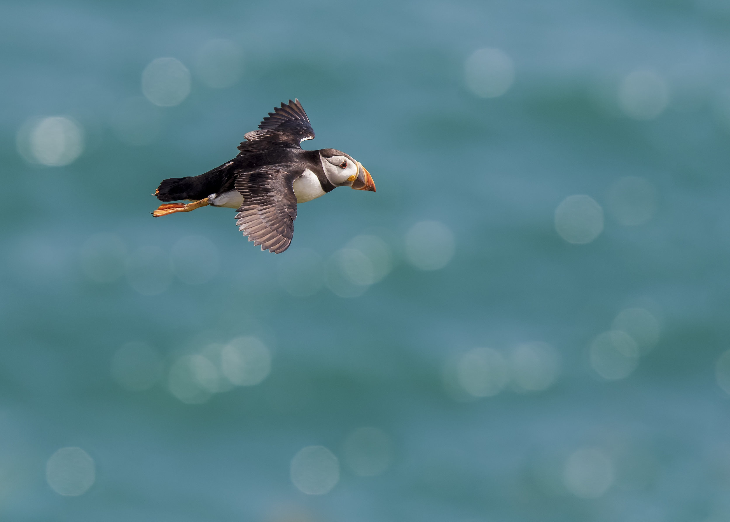 Puffin Sea Bokeh