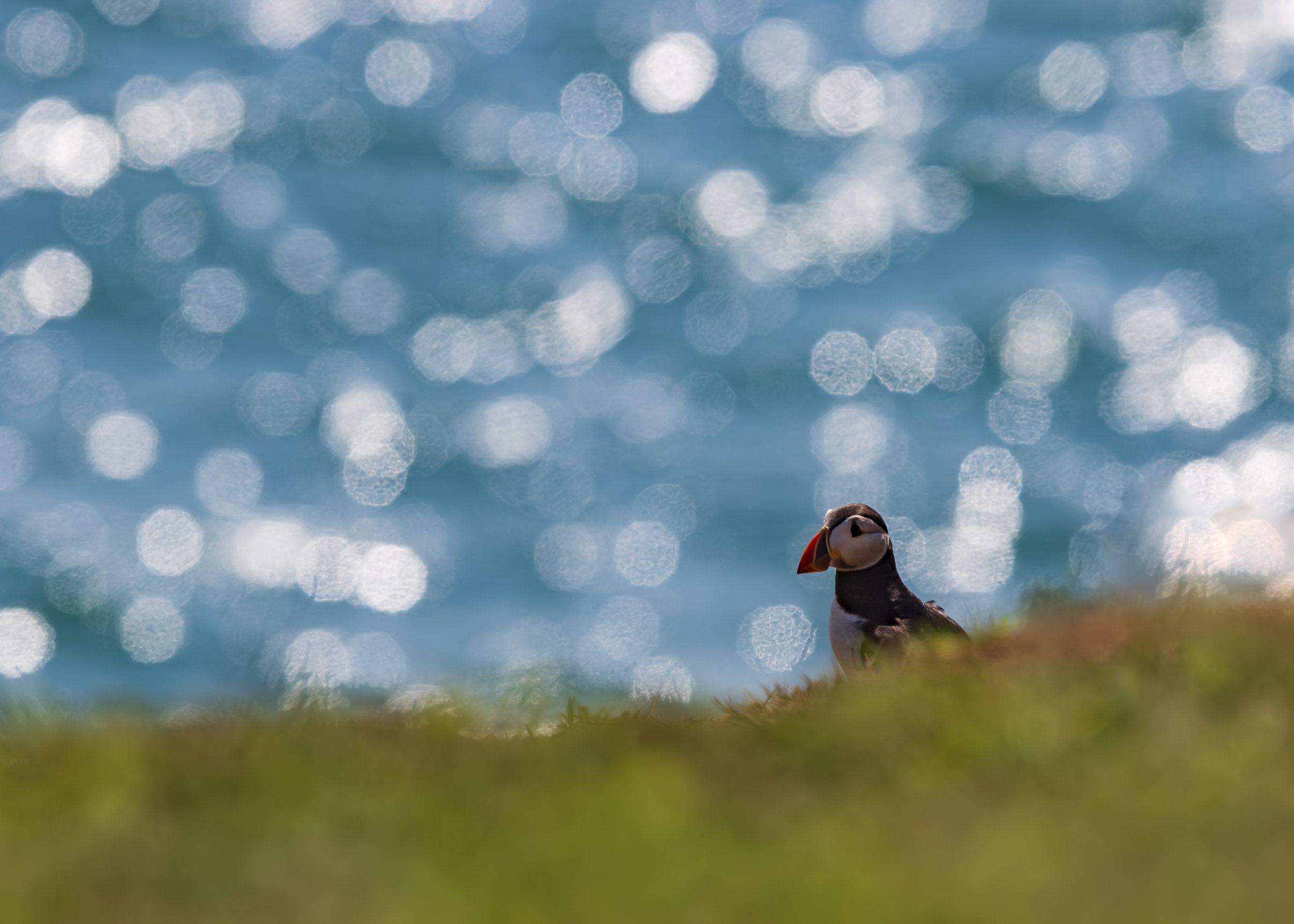 Puffin Blackit Bokeh