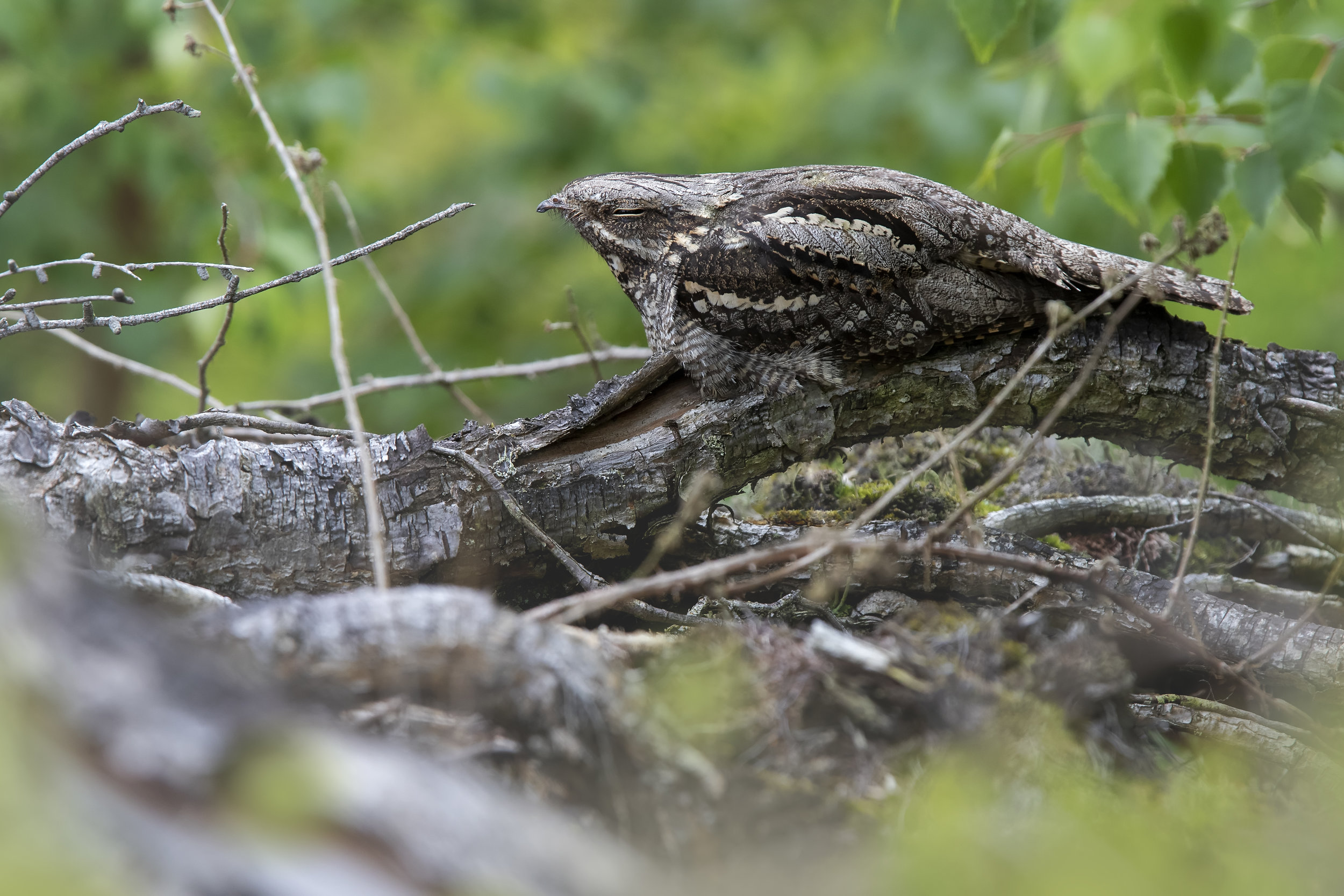 Female Nightjar (Violet)