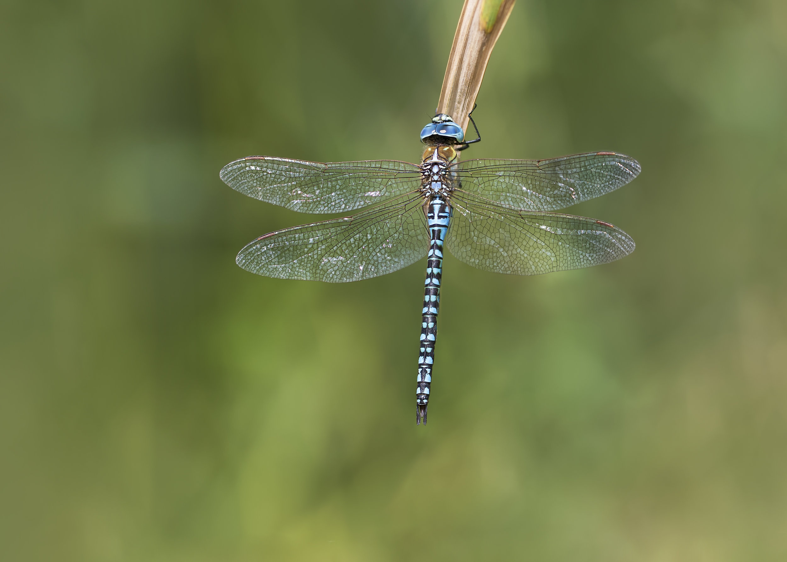 Southern Migrant Hawker 2 15th August.jpg