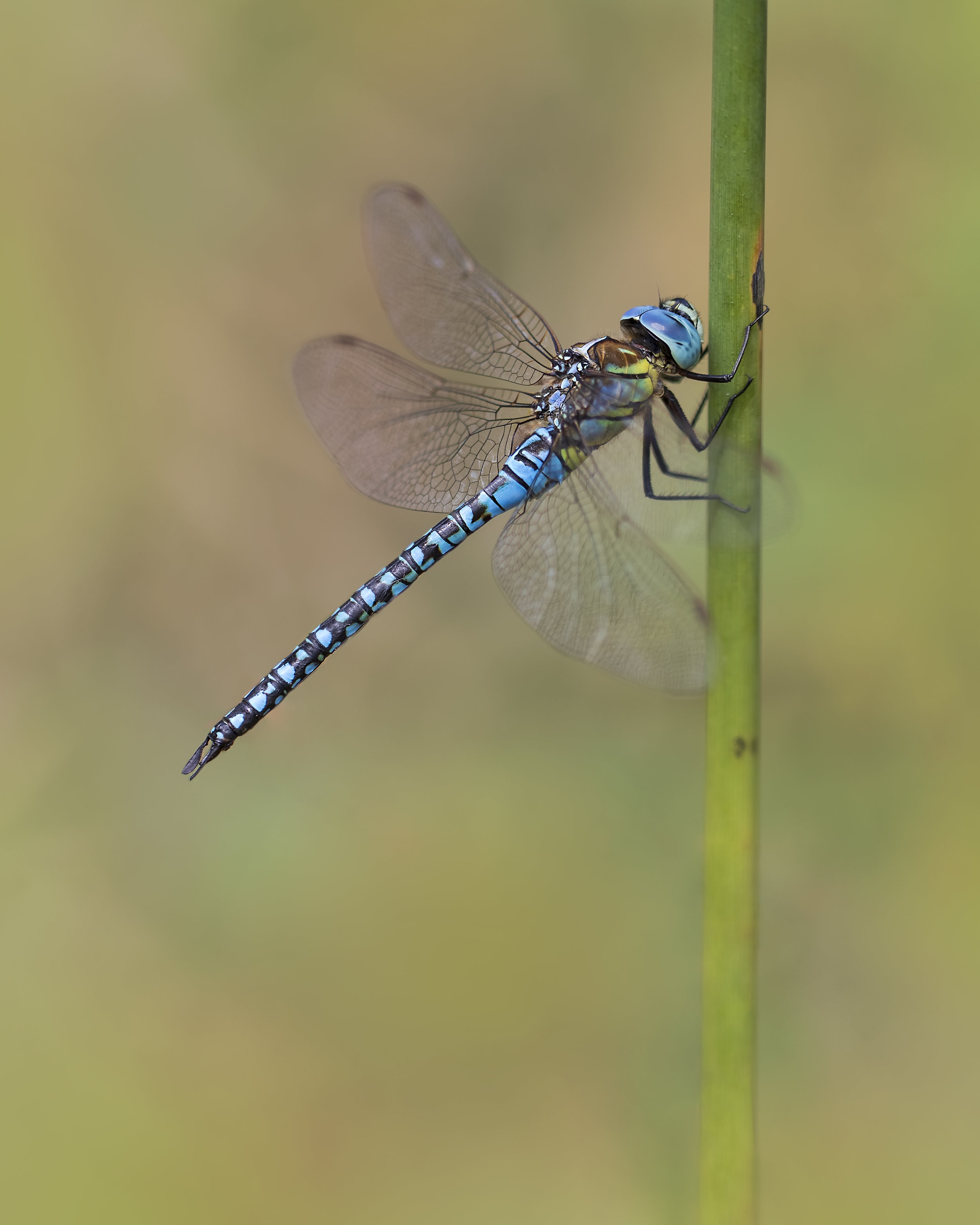 Southern Migrant Hawker 15th August.jpg