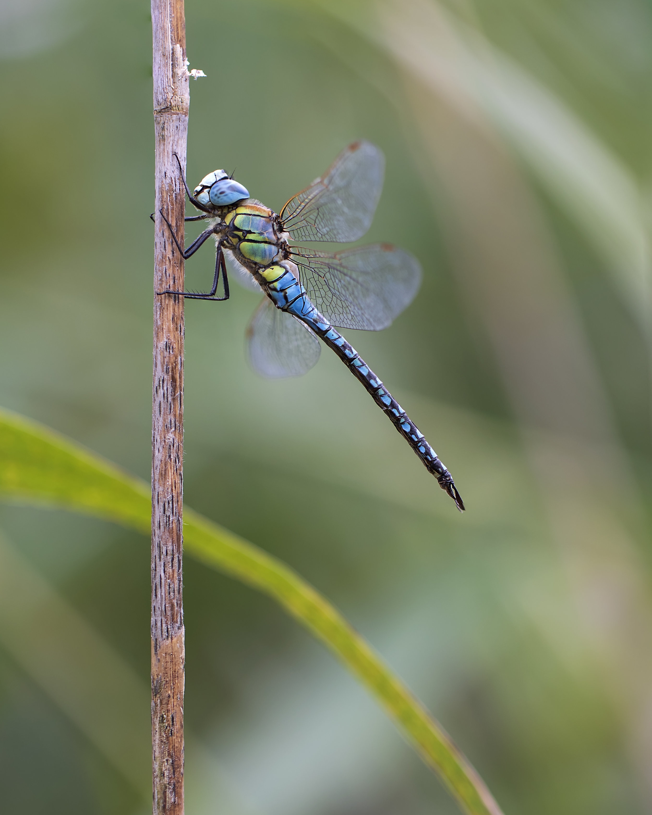 Southern Migrant Hawker 3 13th August.jpg