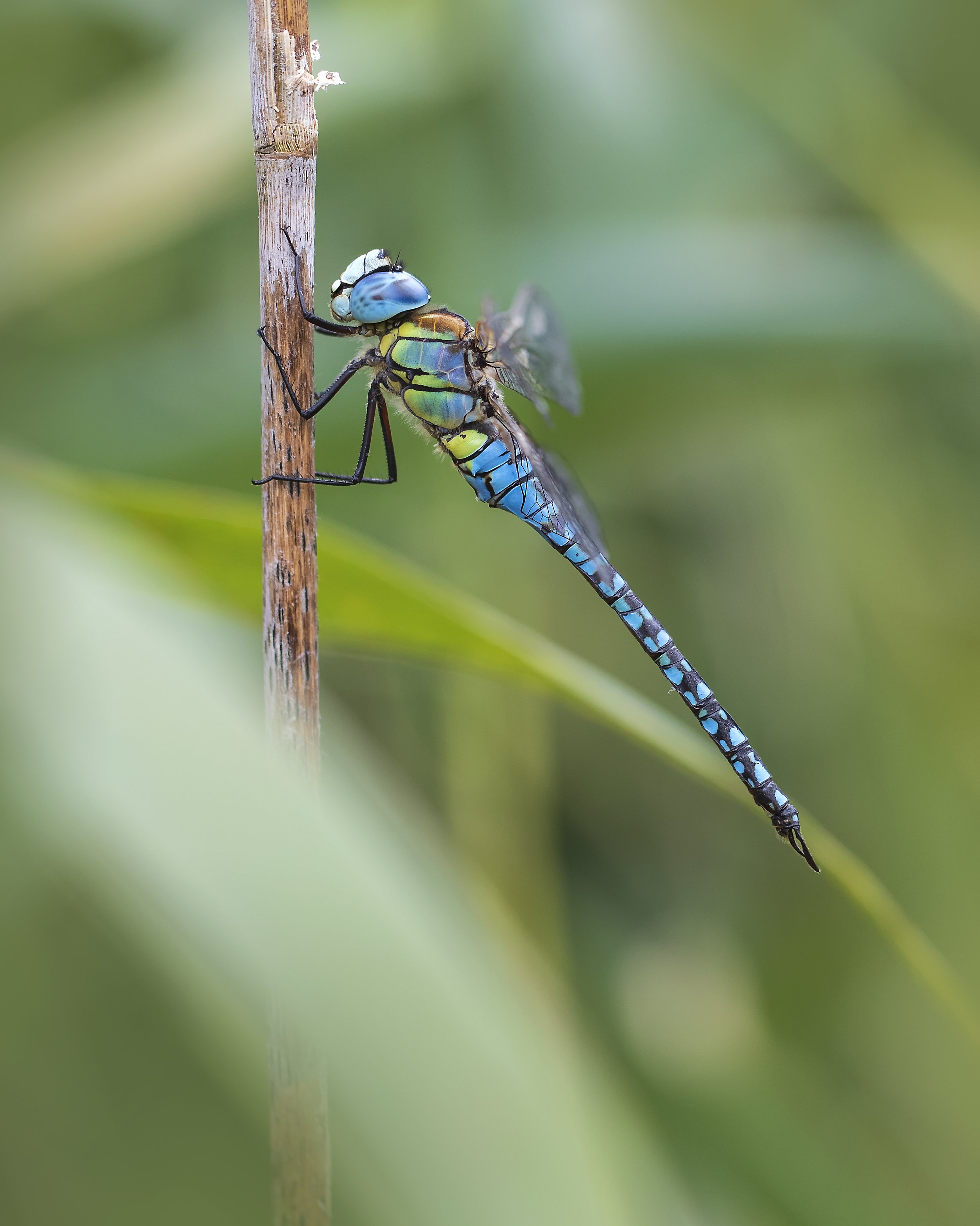 Southern Migrant Hawker 2 13th August.jpg