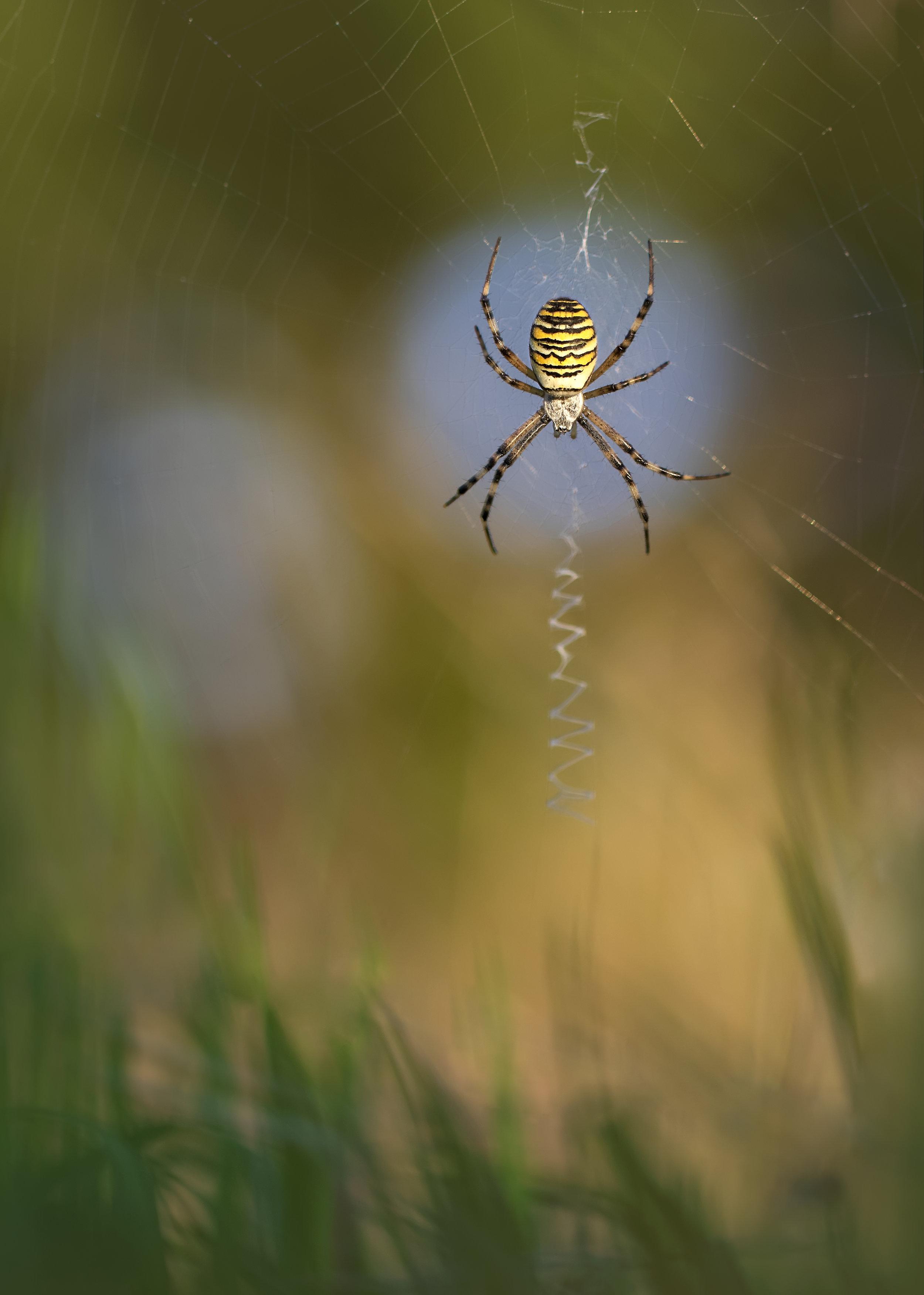 Wasp Spider - Wentlooge