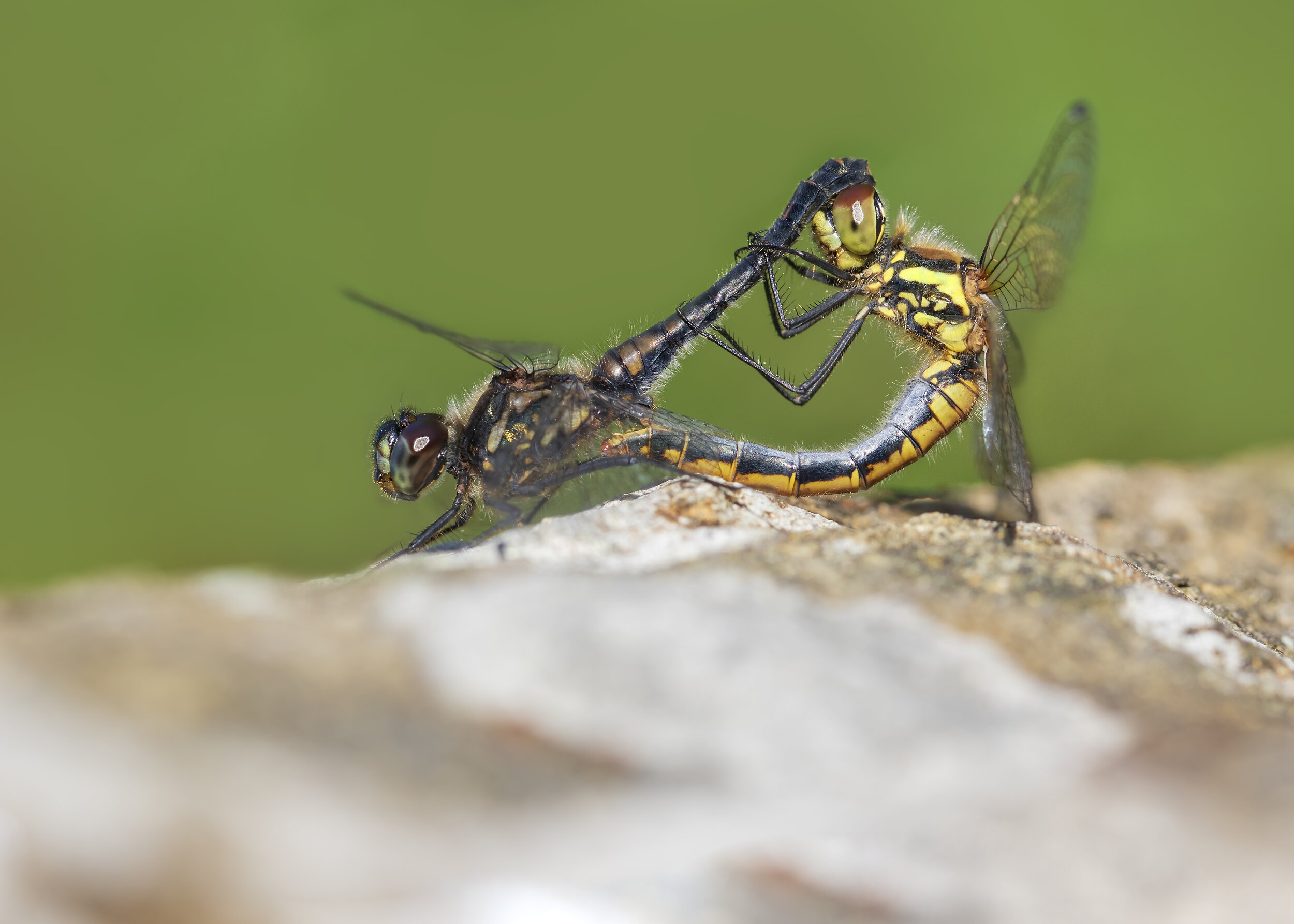Black Darter Pair - Left Male | Right Female