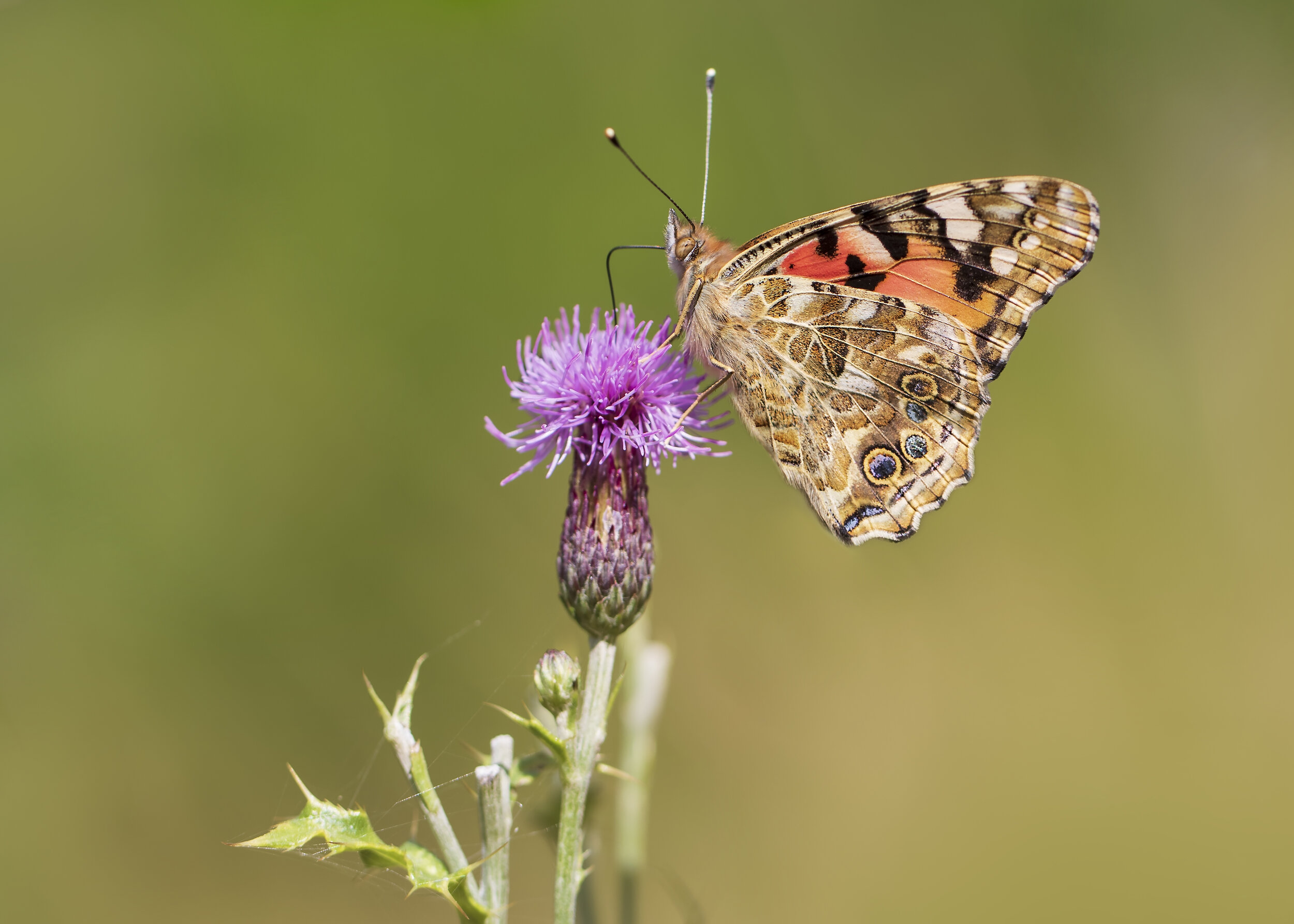 Painted Lady Thistle 18th September.jpg